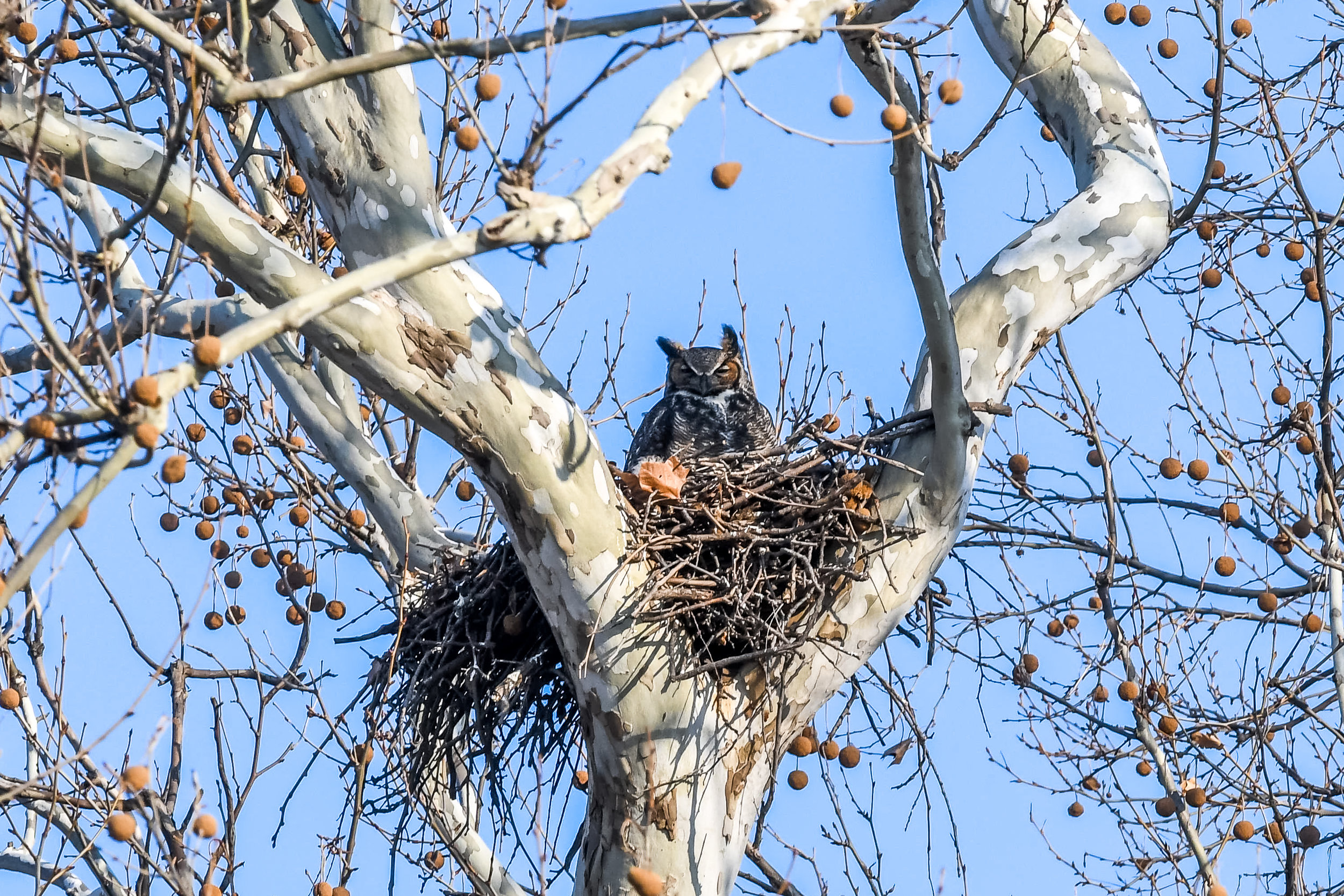 Great Horned Owl and Chick (5 of 20).jpg
