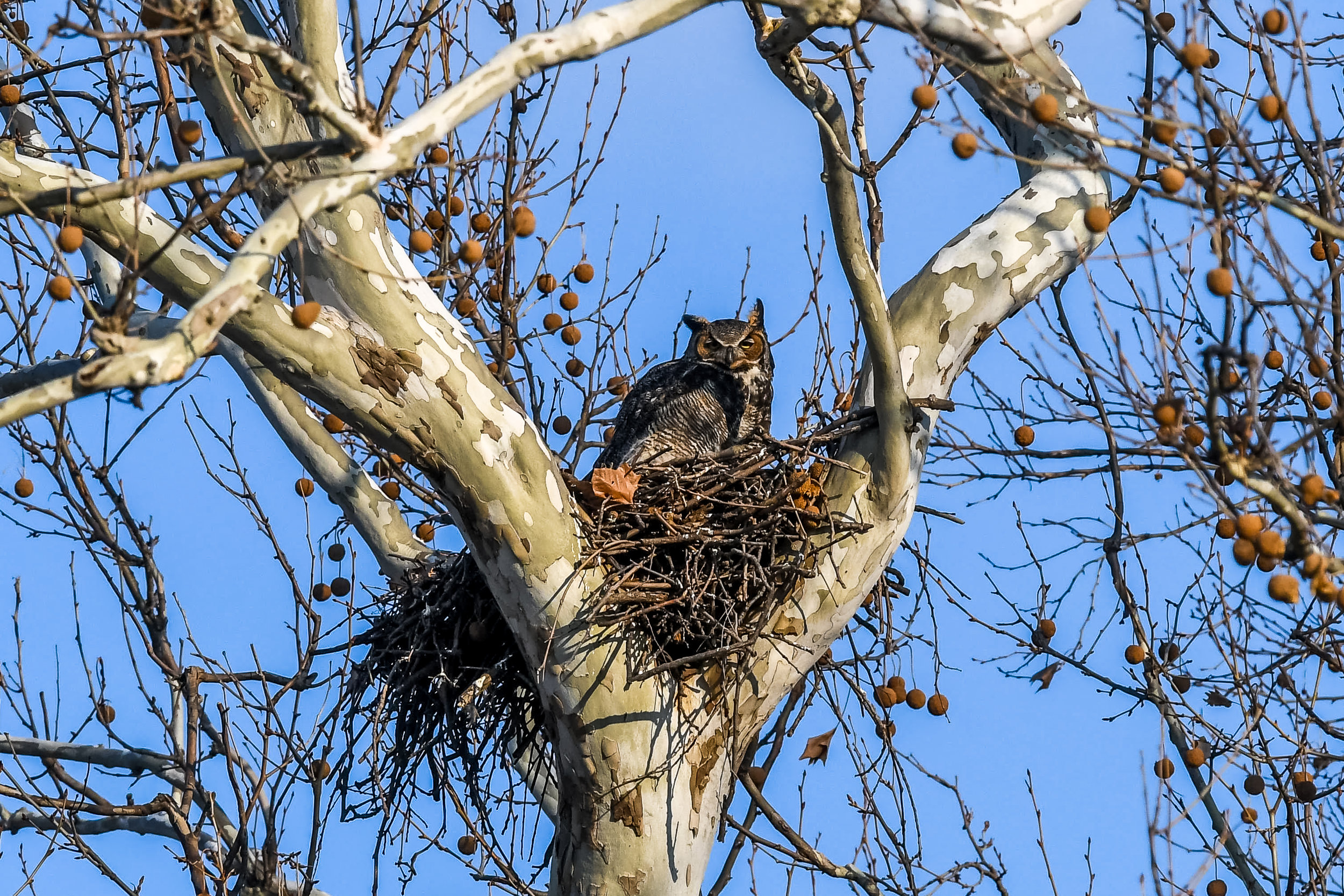 Great Horned Owl and Chick (7 of 20).jpg