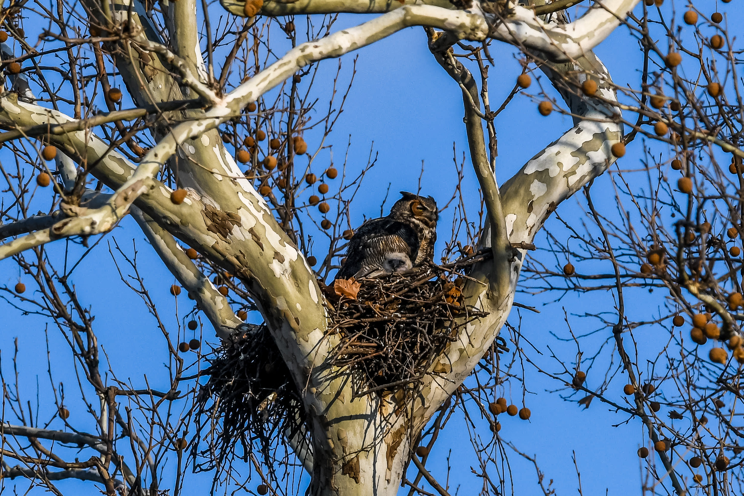 Great Horned Owl and Chick (8 of 20).jpg