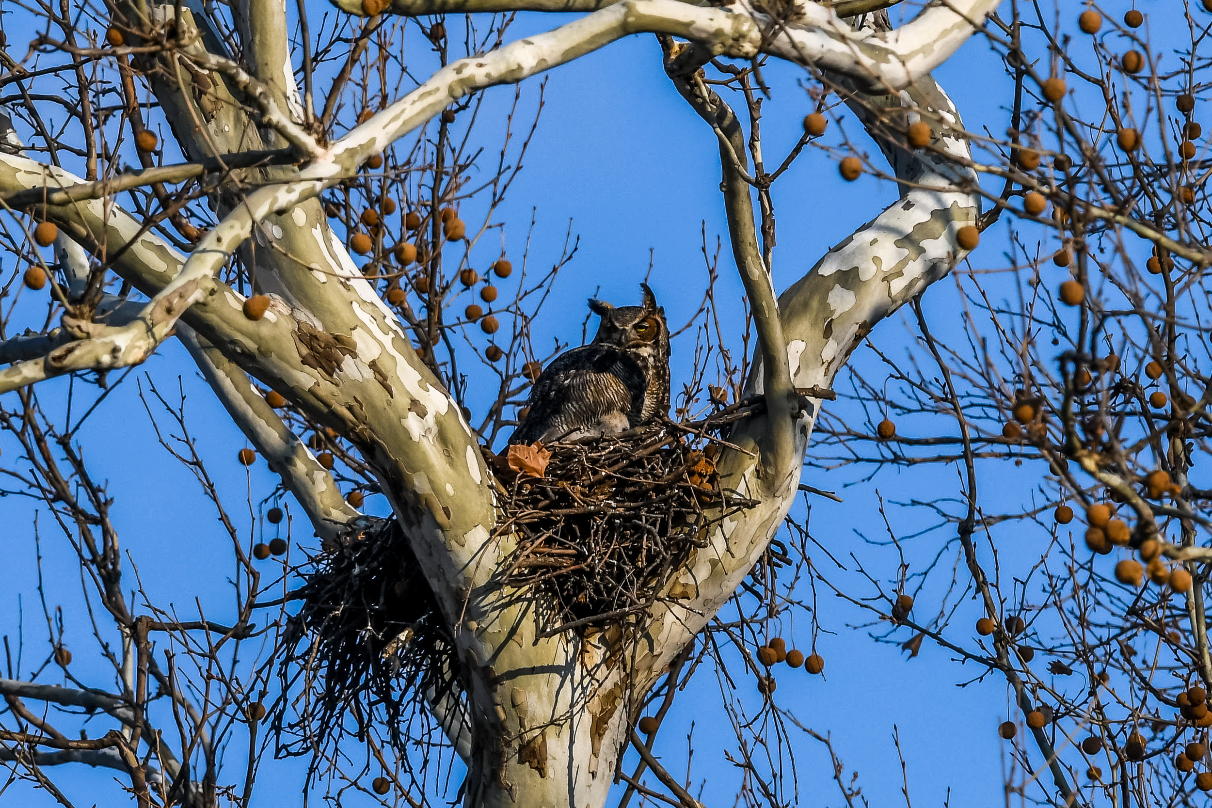 Great Horned Owl and Chick (9 of 20).jpg