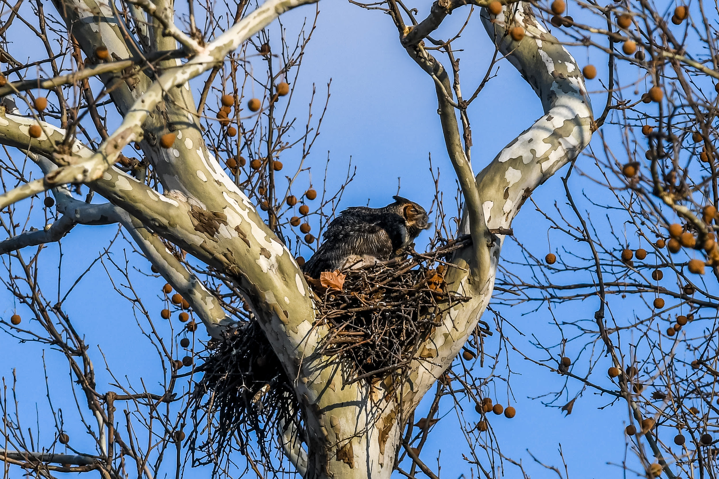 Great Horned Owl and Chick (10 of 20).jpg