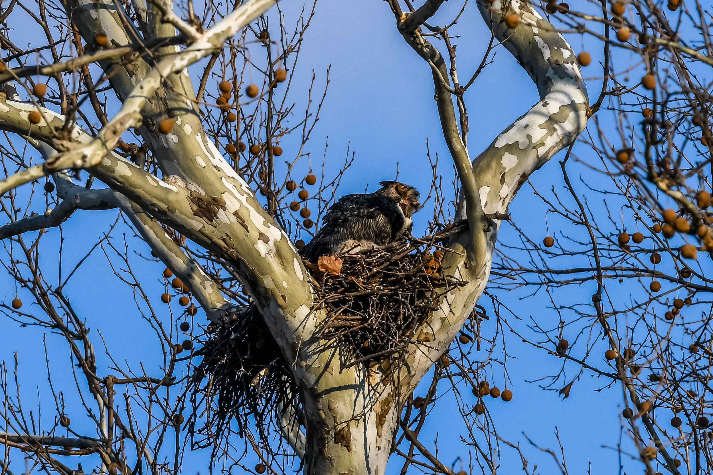 Great Horned Owl and Chick (11 of 20).jpg