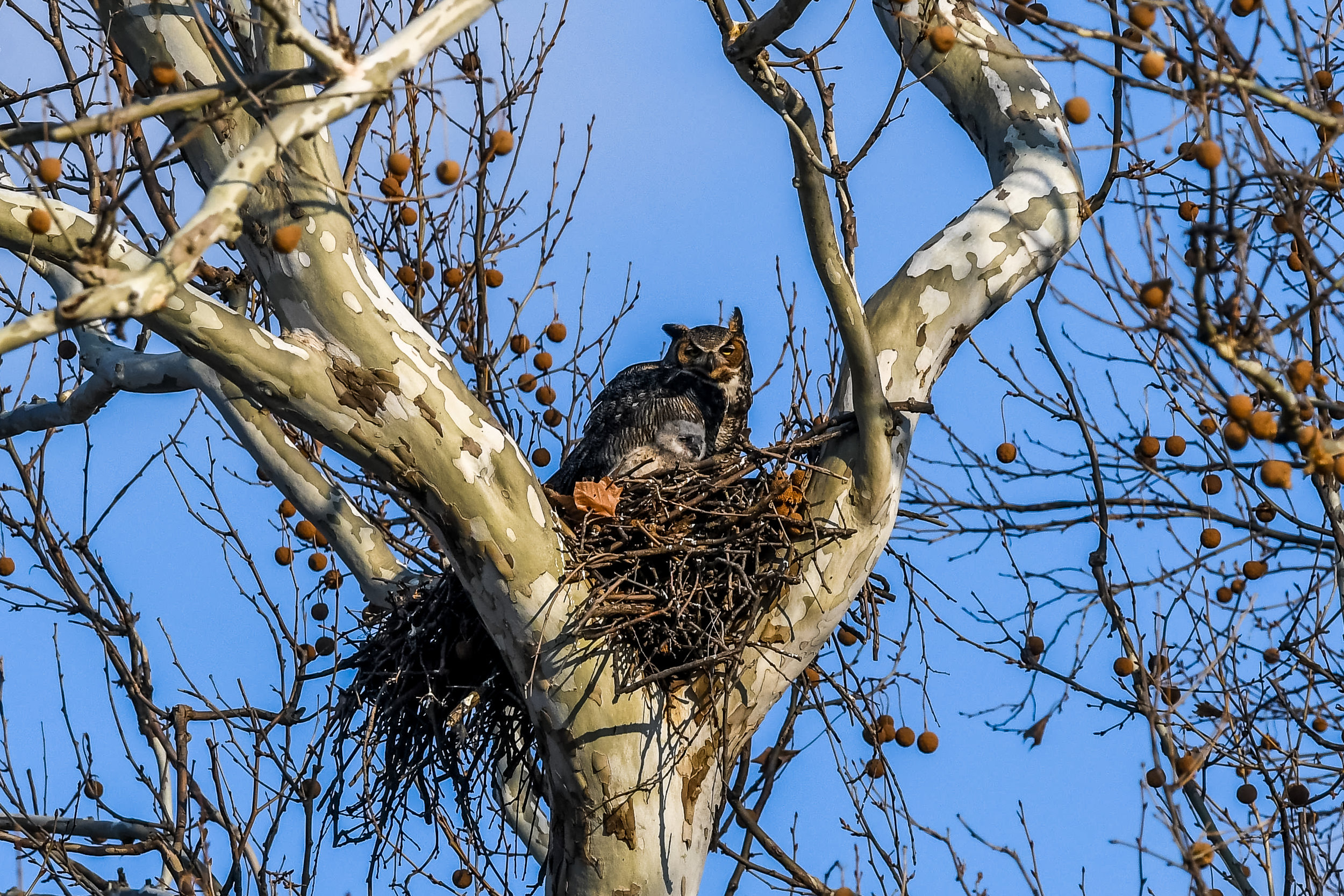 Great Horned Owl and Chick (12 of 20).jpg