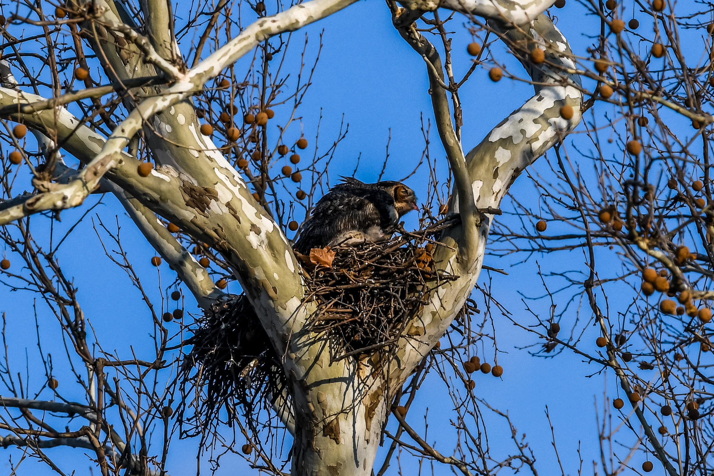Great Horned Owl and Chick (13 of 20).jpg