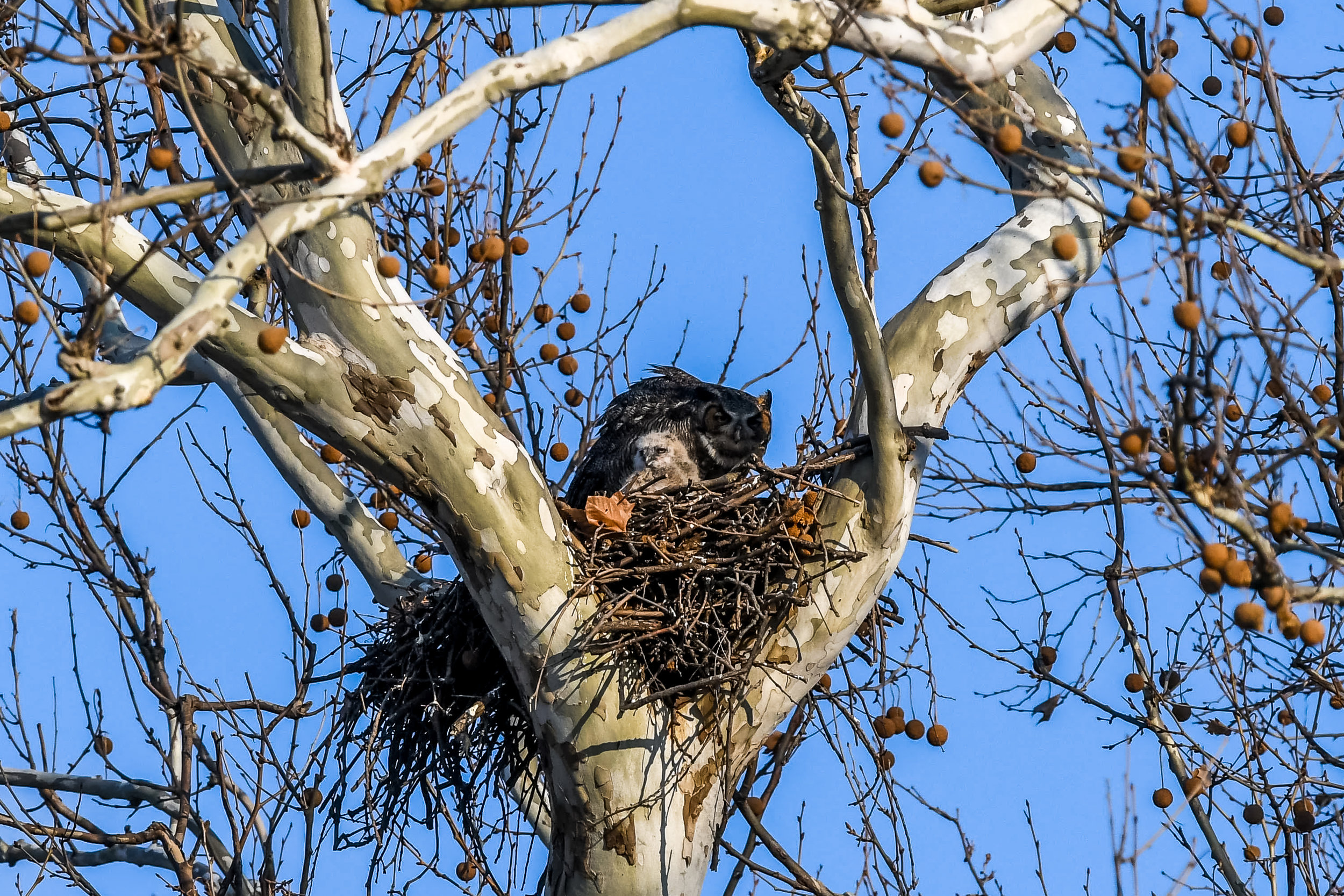 Great Horned Owl and Chick (14 of 20).jpg