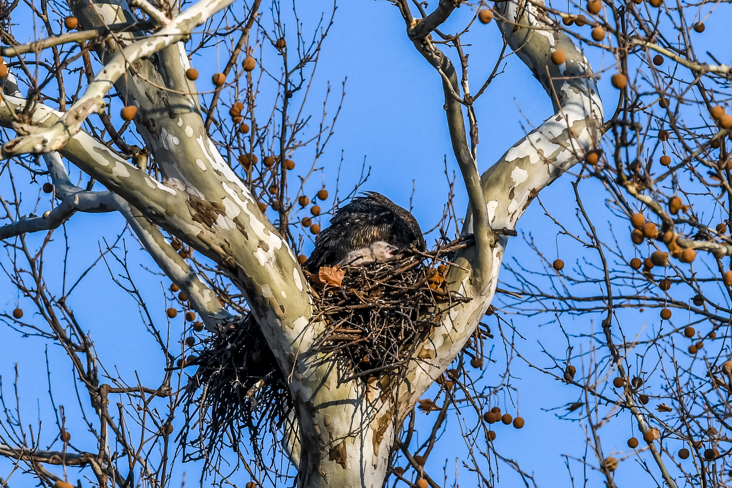 Great Horned Owl and Chick (15 of 20).jpg