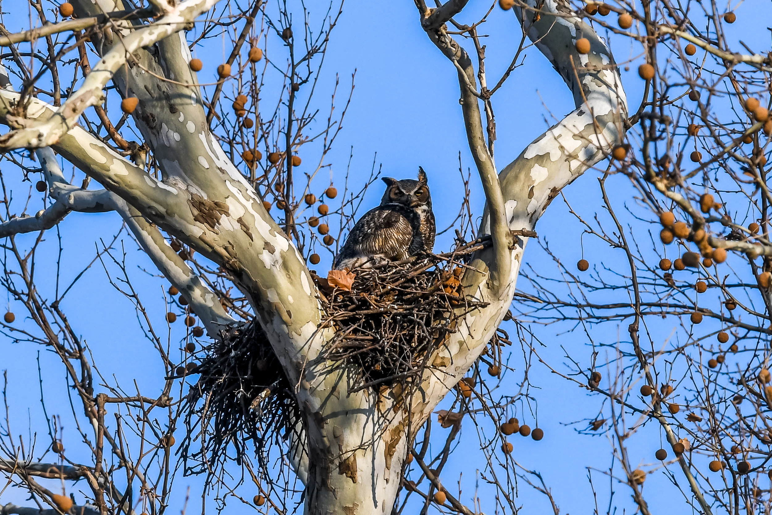 Great Horned Owl and Chick (16 of 20).jpg