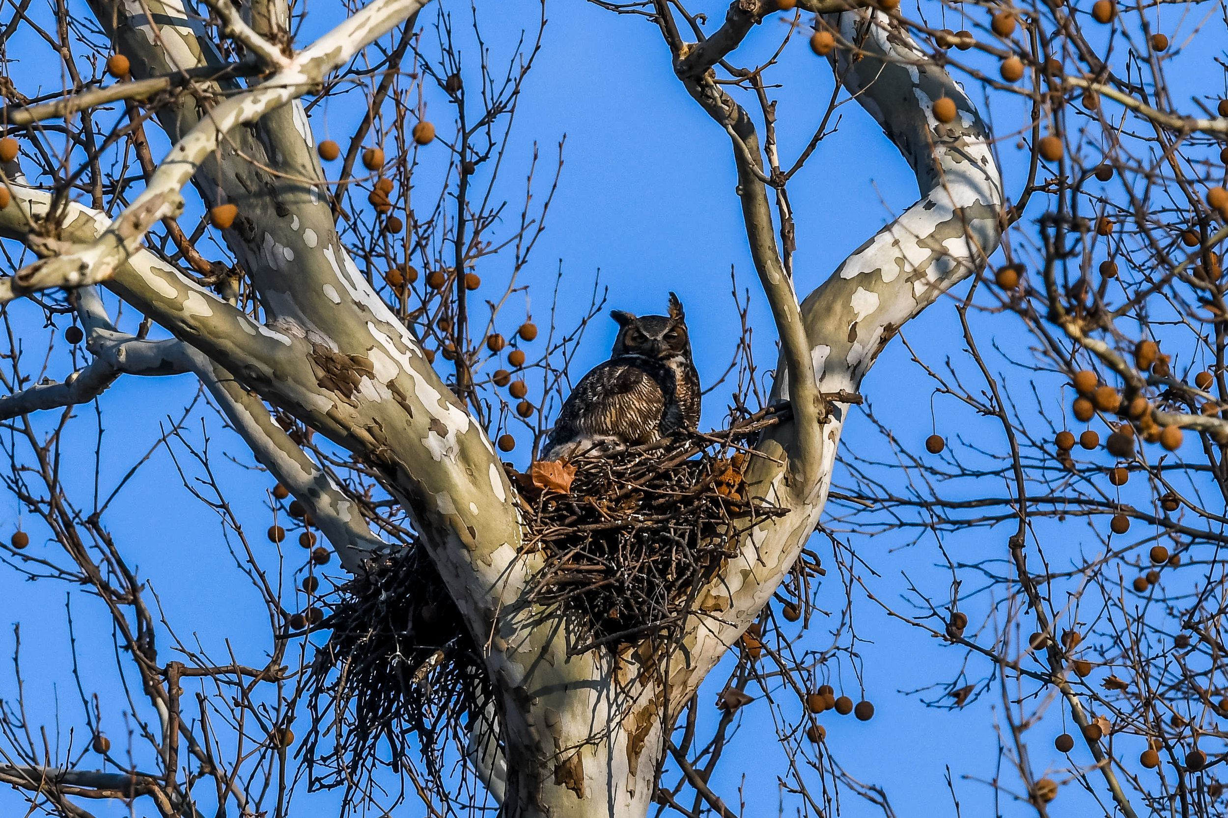Great Horned Owl and Chick (17 of 20).jpg