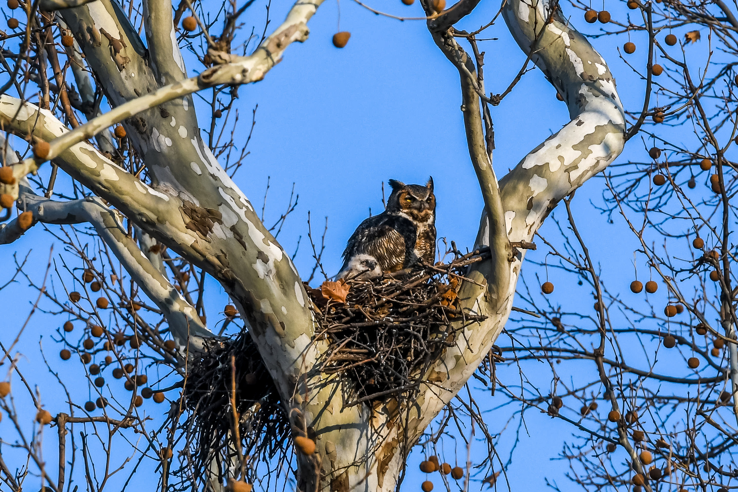 Great Horned Owl and Chick (18 of 20).jpg