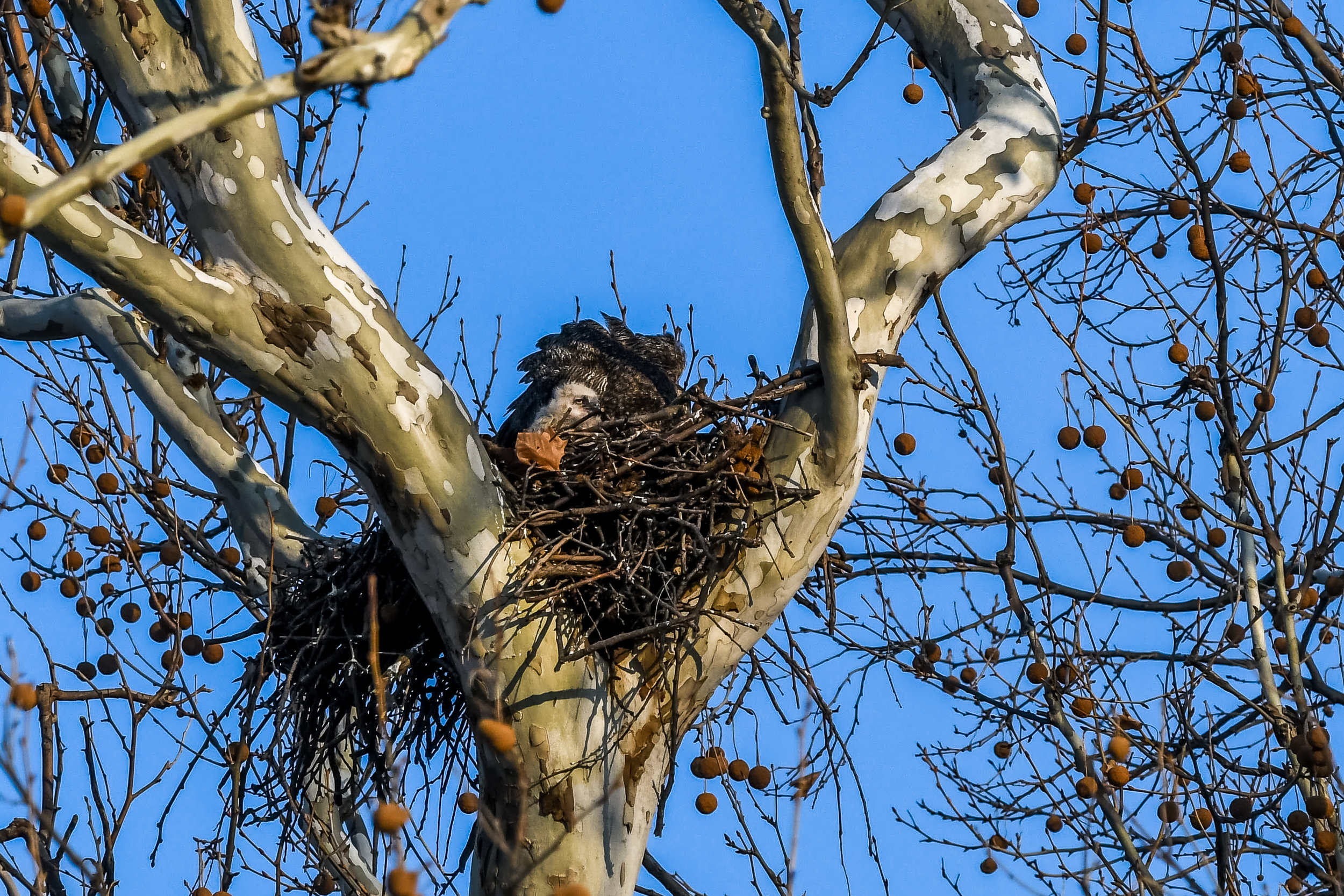 Great Horned Owl and Chick (19 of 20).jpg