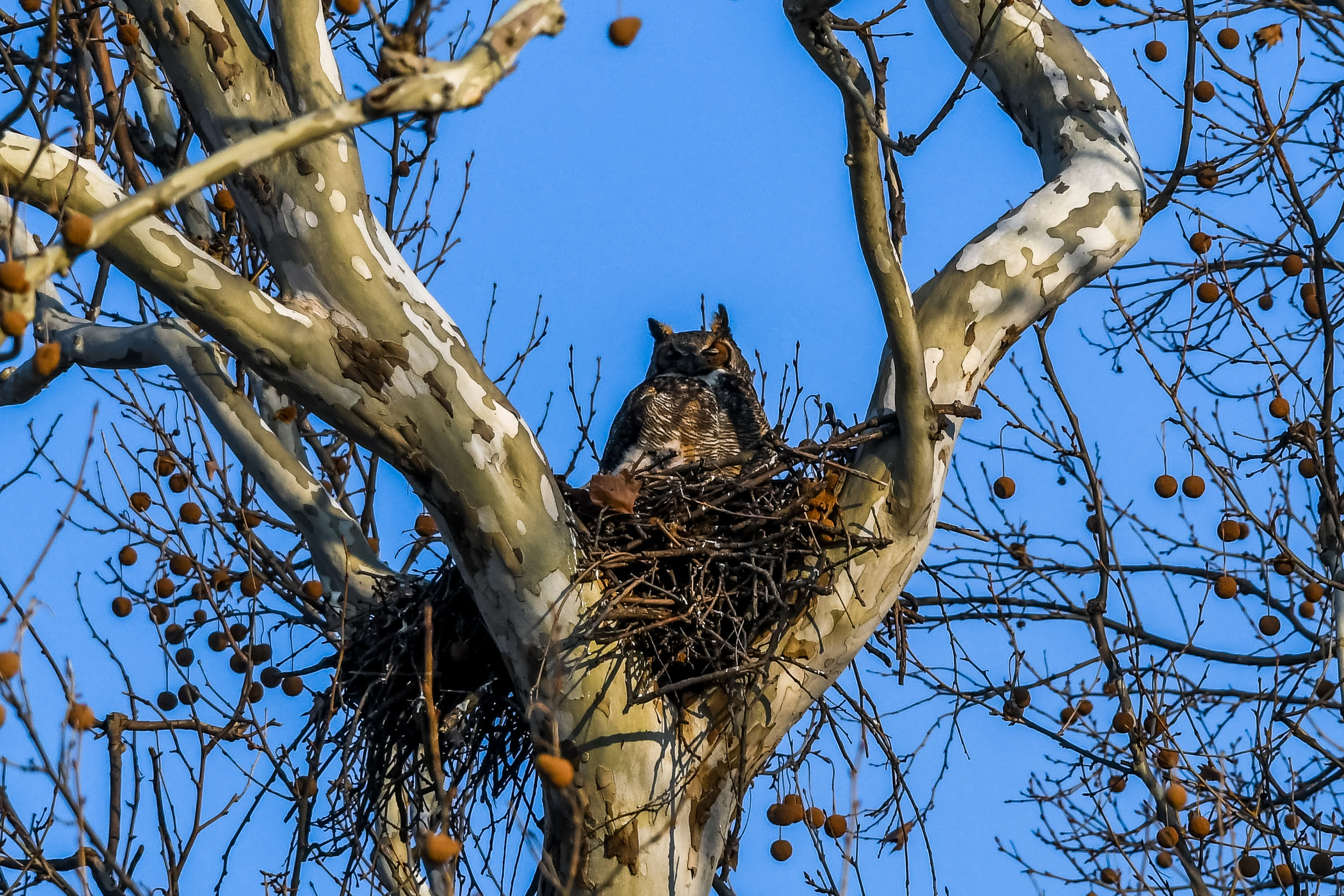 Great Horned Owl and Chick (20 of 20).jpg