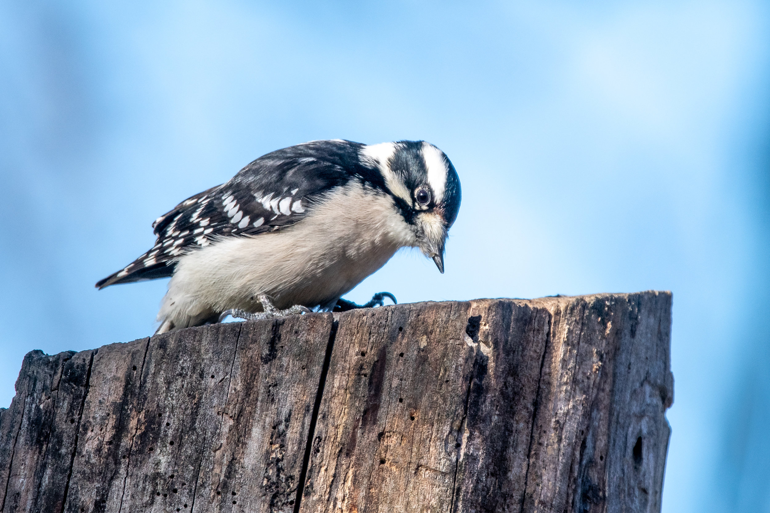 Downy Woodpecker (Martha Lafite Nature Sanctuary)