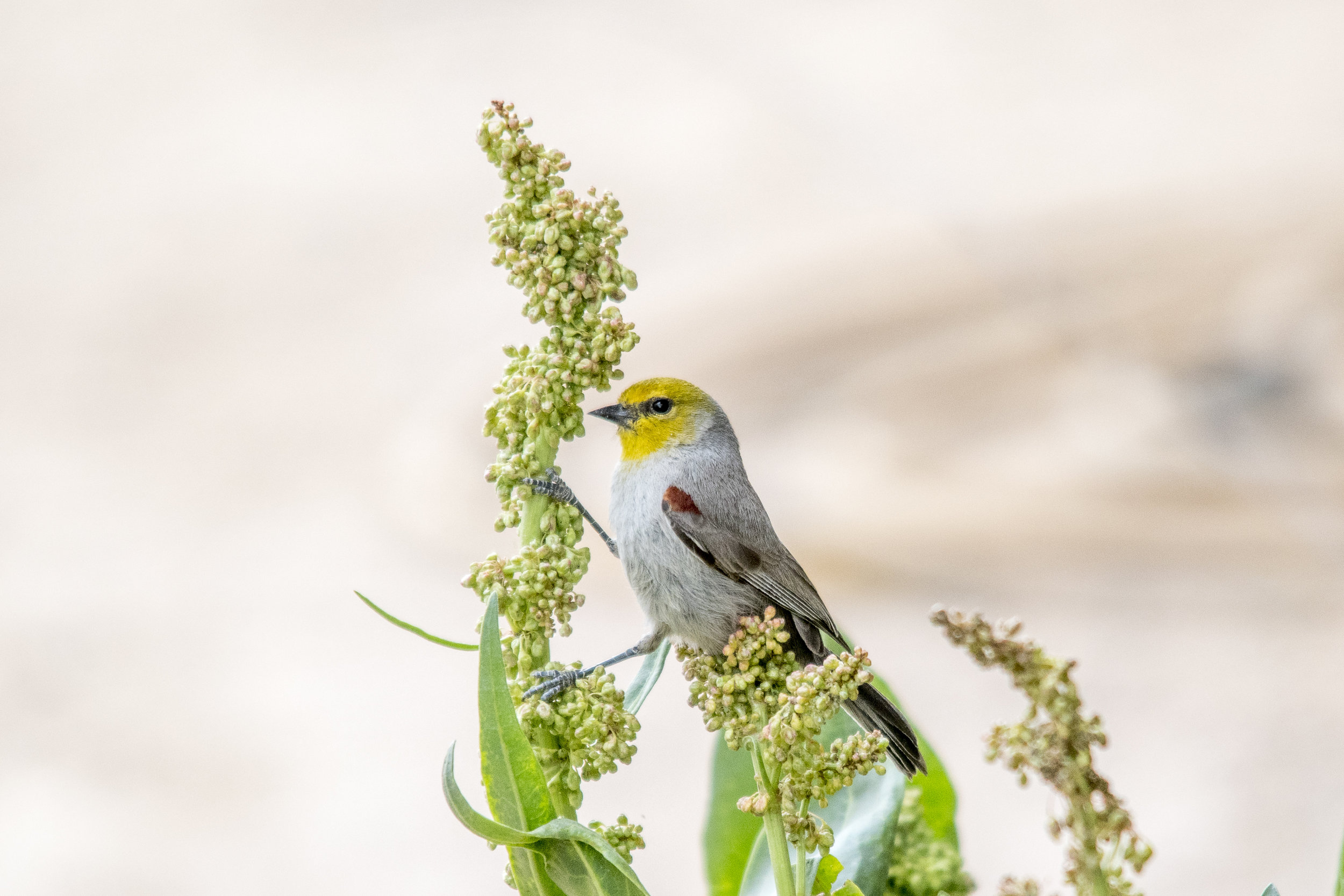 Favorite Bird from 2018 (Verdin)