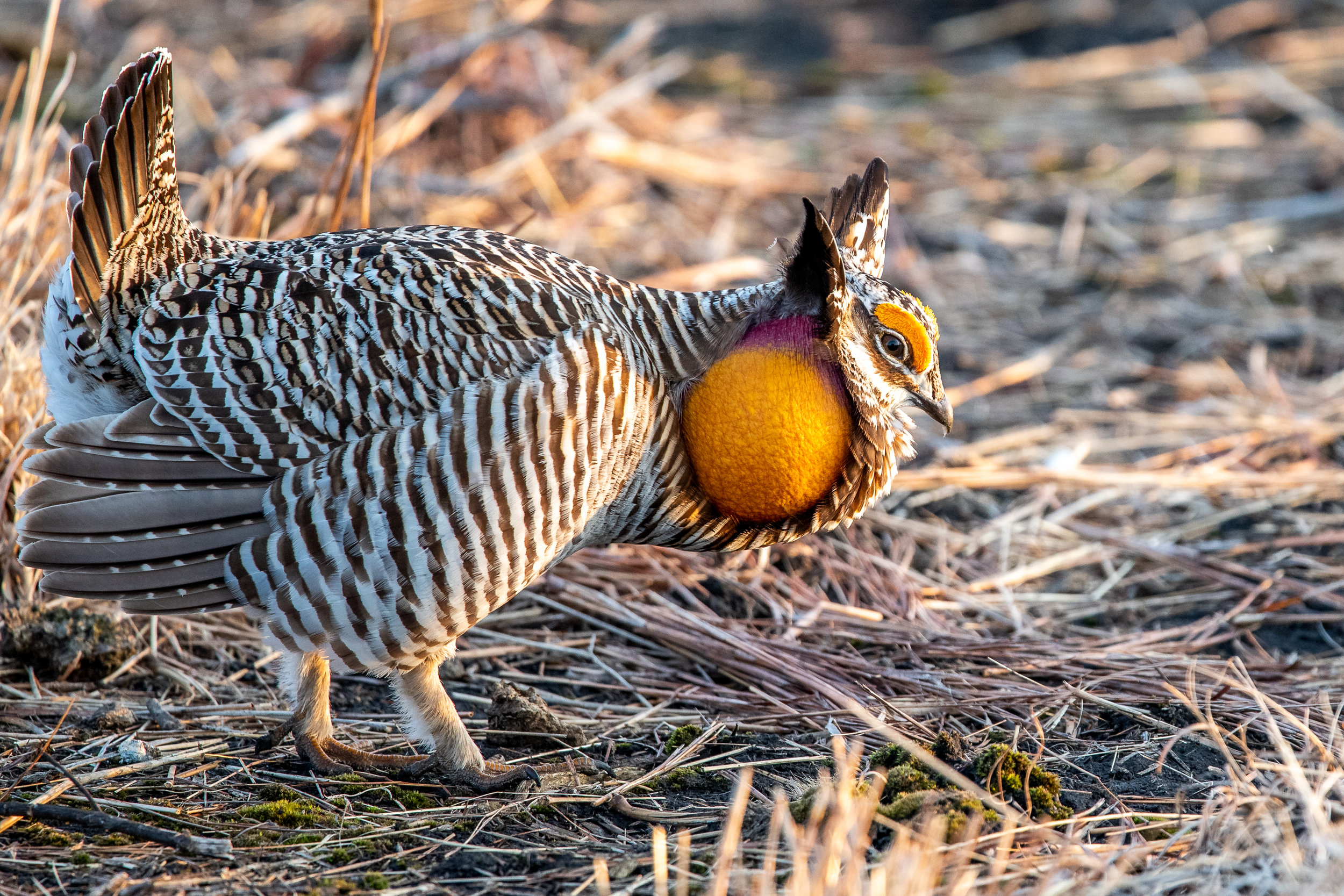 Endangered Greater Prairie Chicken