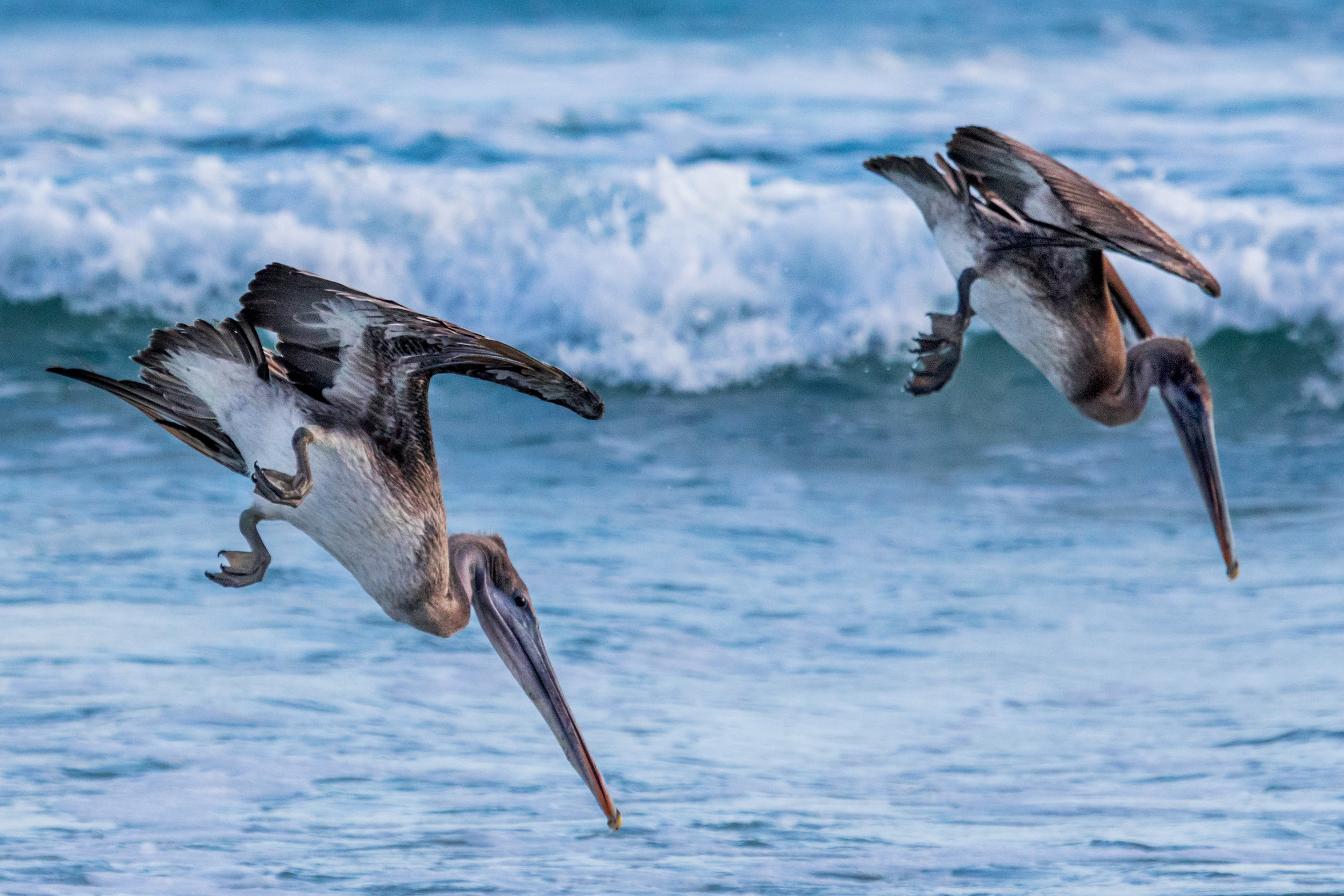 Frigate birds dive to find their next meal.    Meals: B | L