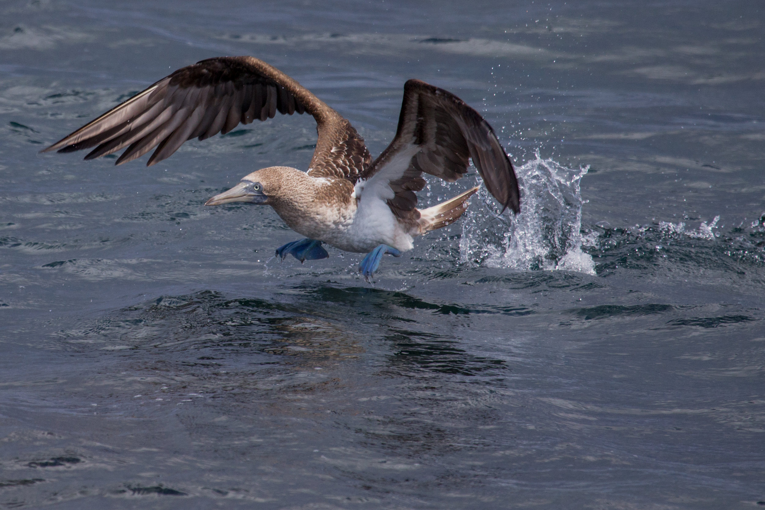 The iconic Blue-footed boobie.    Meals: B    Flight:  Baltra to Quito (stop in Guayaquil)