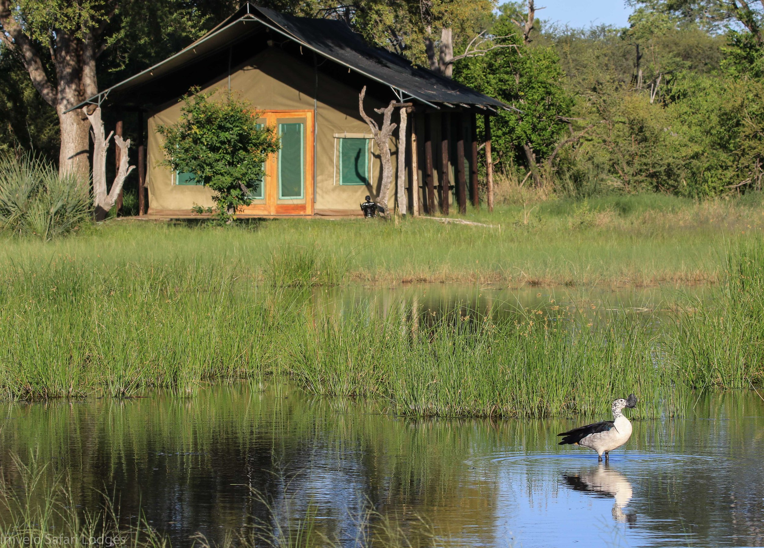 14b - Imvelo Safari Lodges - Bomani - Spurwing tent and Comb Duck drake.jpg