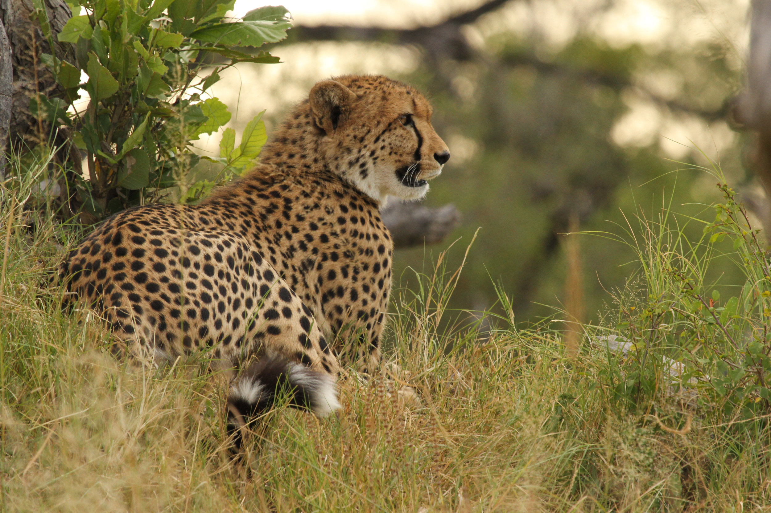 45a - Imvelo Safari Lodges - Bomani Tented Lodge -  young recently dispersed male.jpg