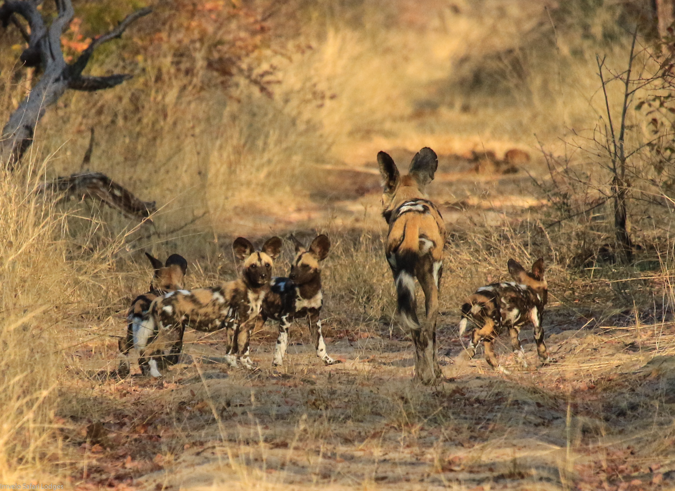 47c - Imvelo Safari lodges - Bomani Pack - First patrol with Cusp_s puppies.jpg