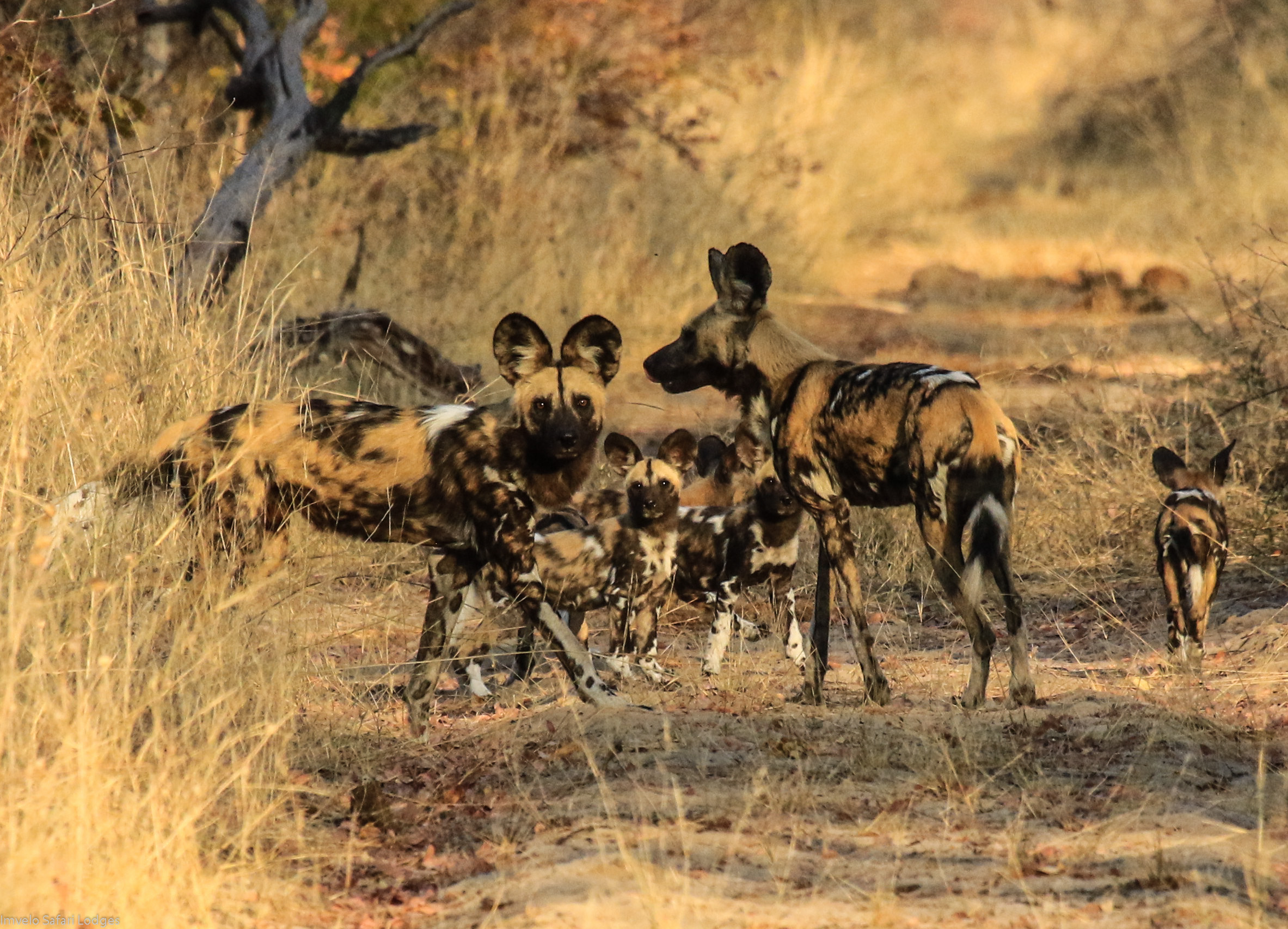47d - Imvelo Safari lodges - Bomani Pack - First patrol with Cusp_s puppies.jpg