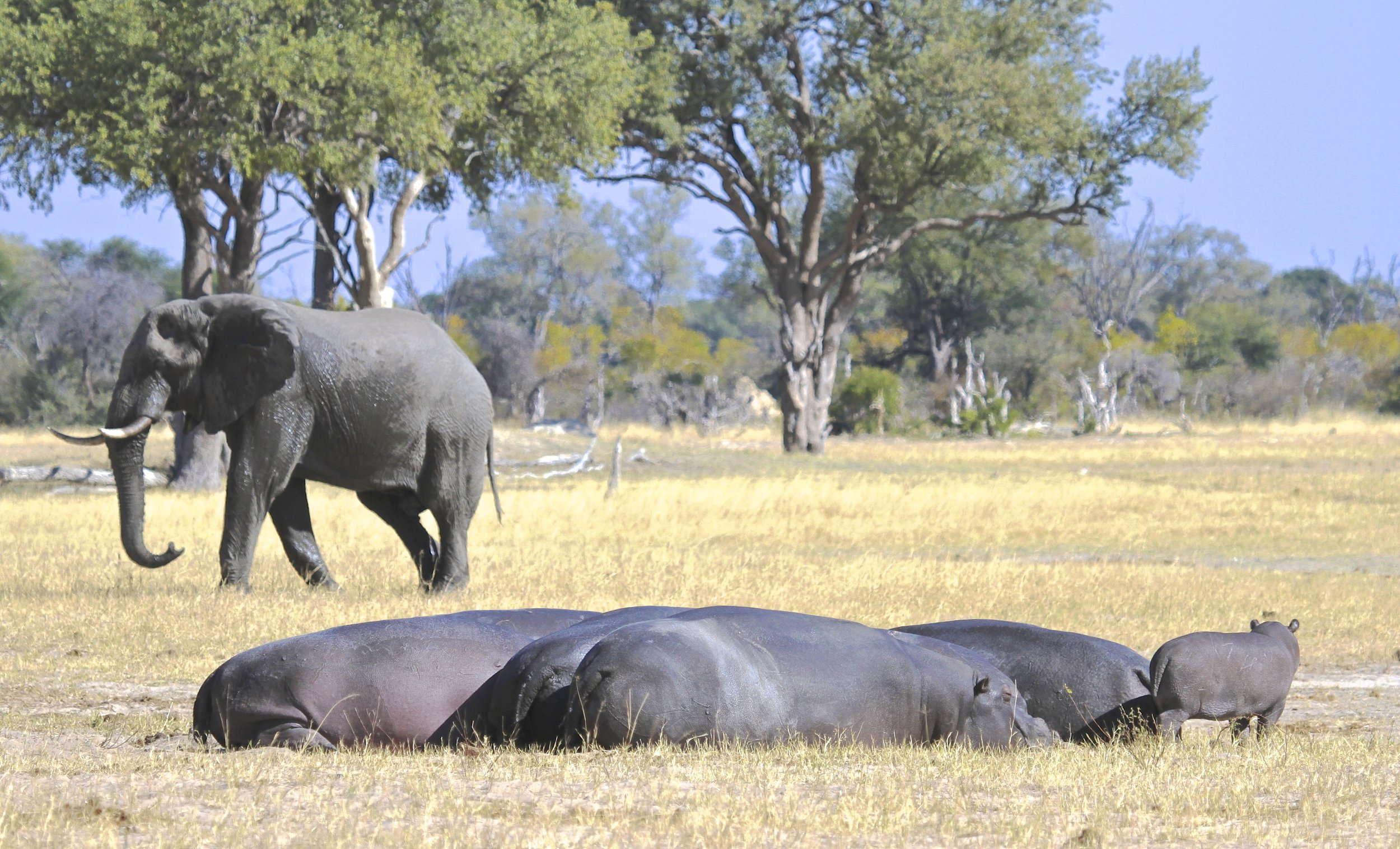 Zimbabwe is known for its vast elephant population.    Overnight: Bomani Tented Lodge Meals: B | L |D