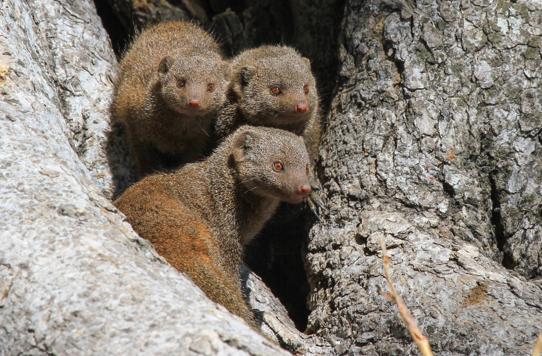 30 - Imvelo Safari Lodges - Nehimba - Dwarf Mongoose are our other social mongoose.jpg