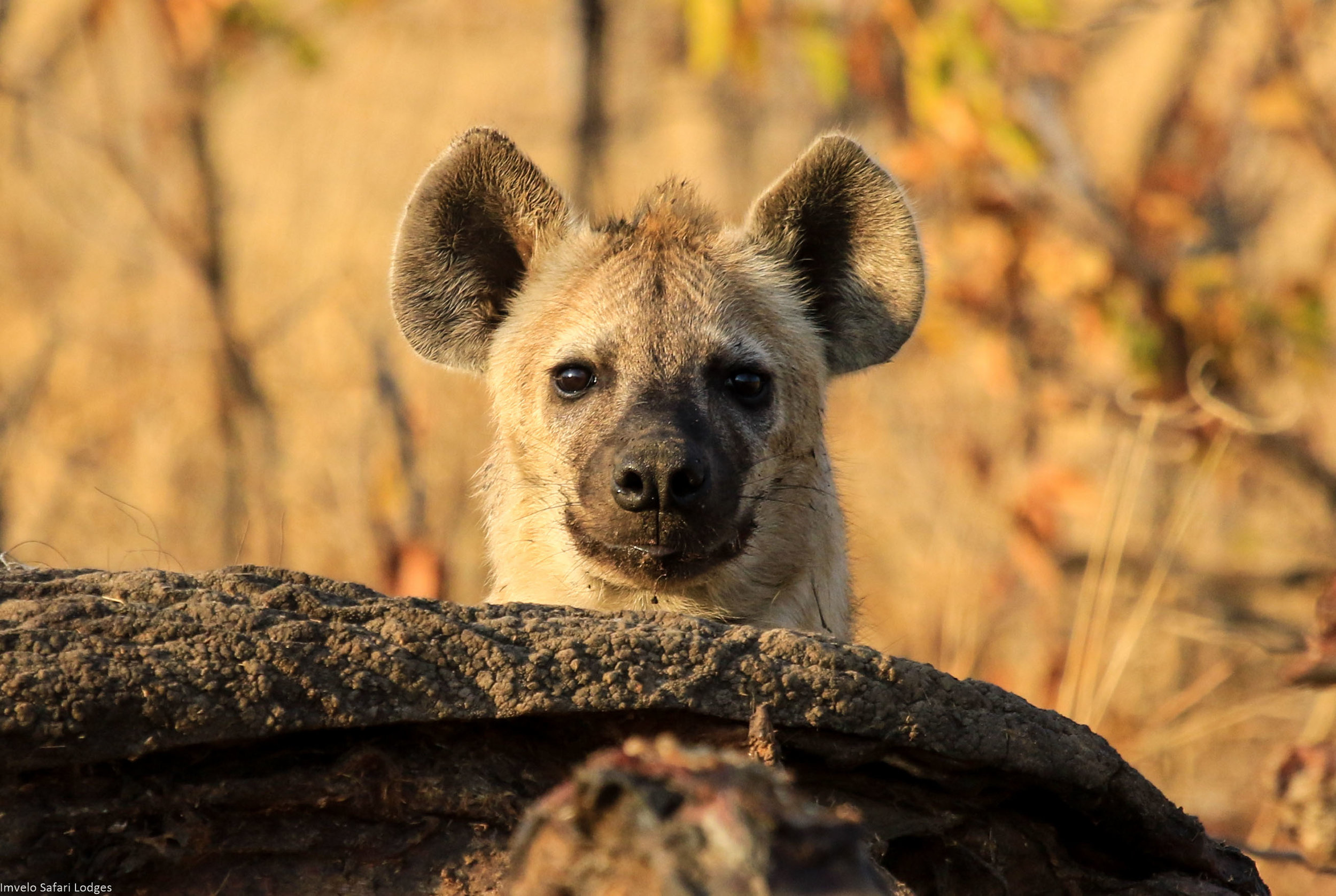 42 - Imvelo Safari Lodges - Nehimba - Young curious  Spotted Hyaena.jpg