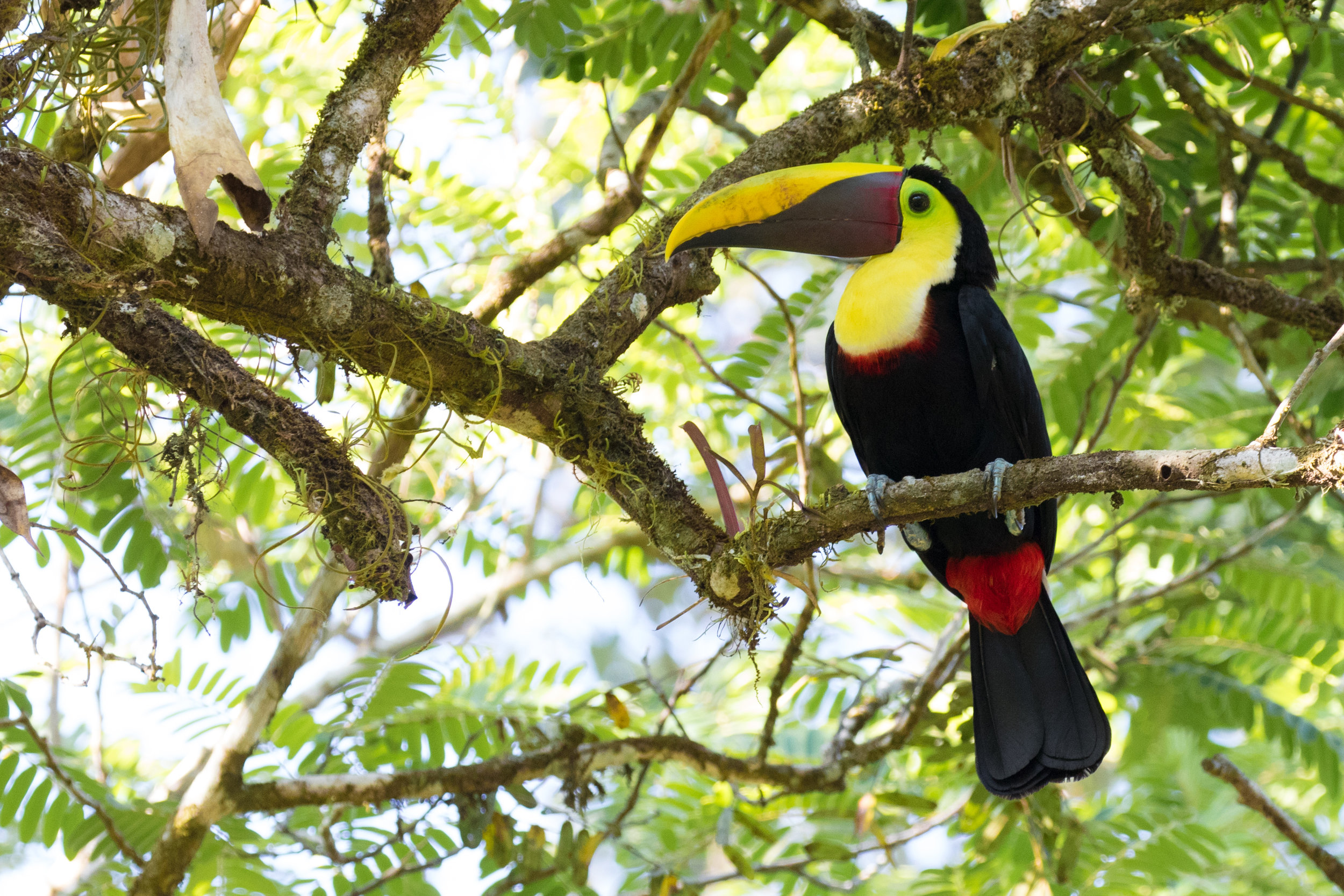 Costa-Rica-Yellow-throated-Toucan-Kusini-Collection-©AlexArias.jpg