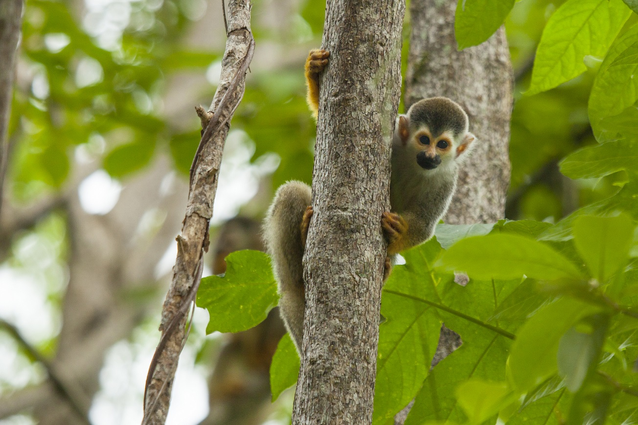 Costa-Rica-Squirrel-Monkey-Nature-Kusini-Collection.jpg