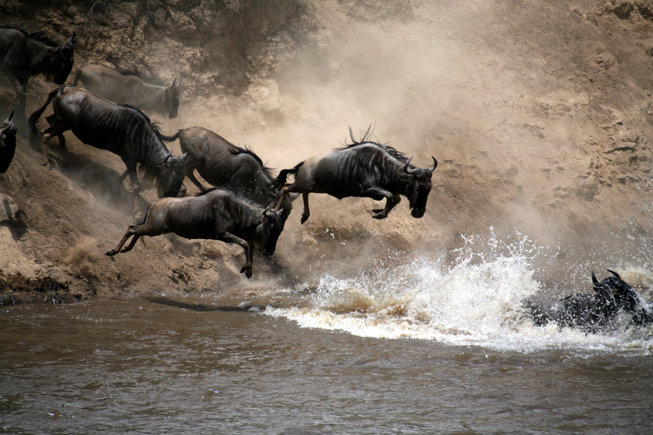 wildbeest river crossing.jpg