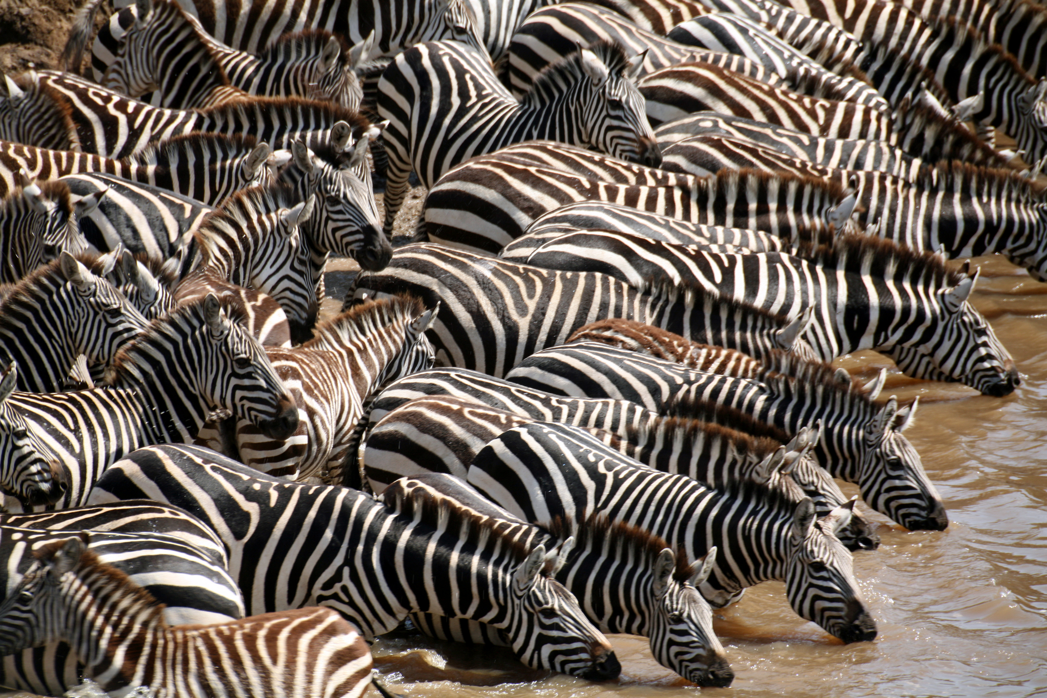Zebra group drinking.jpg