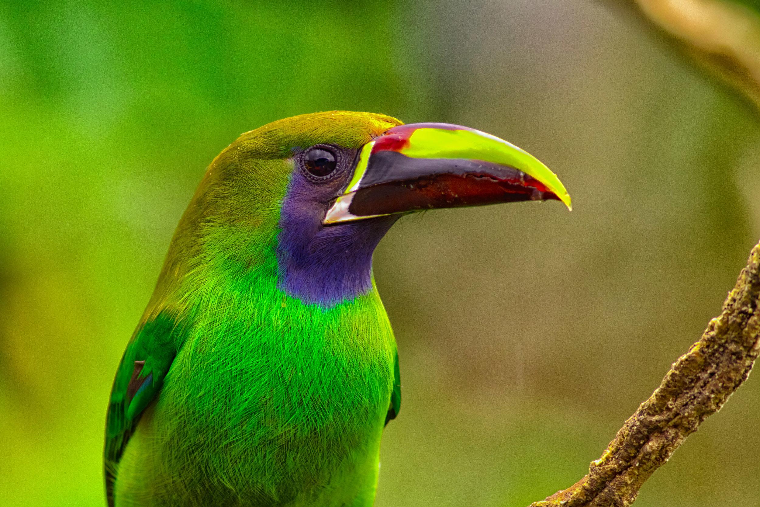 Costa-Rica-Emerald-Toucanet-Wildlife-Photography-Kusini-Collection-©AlexArias.jpg