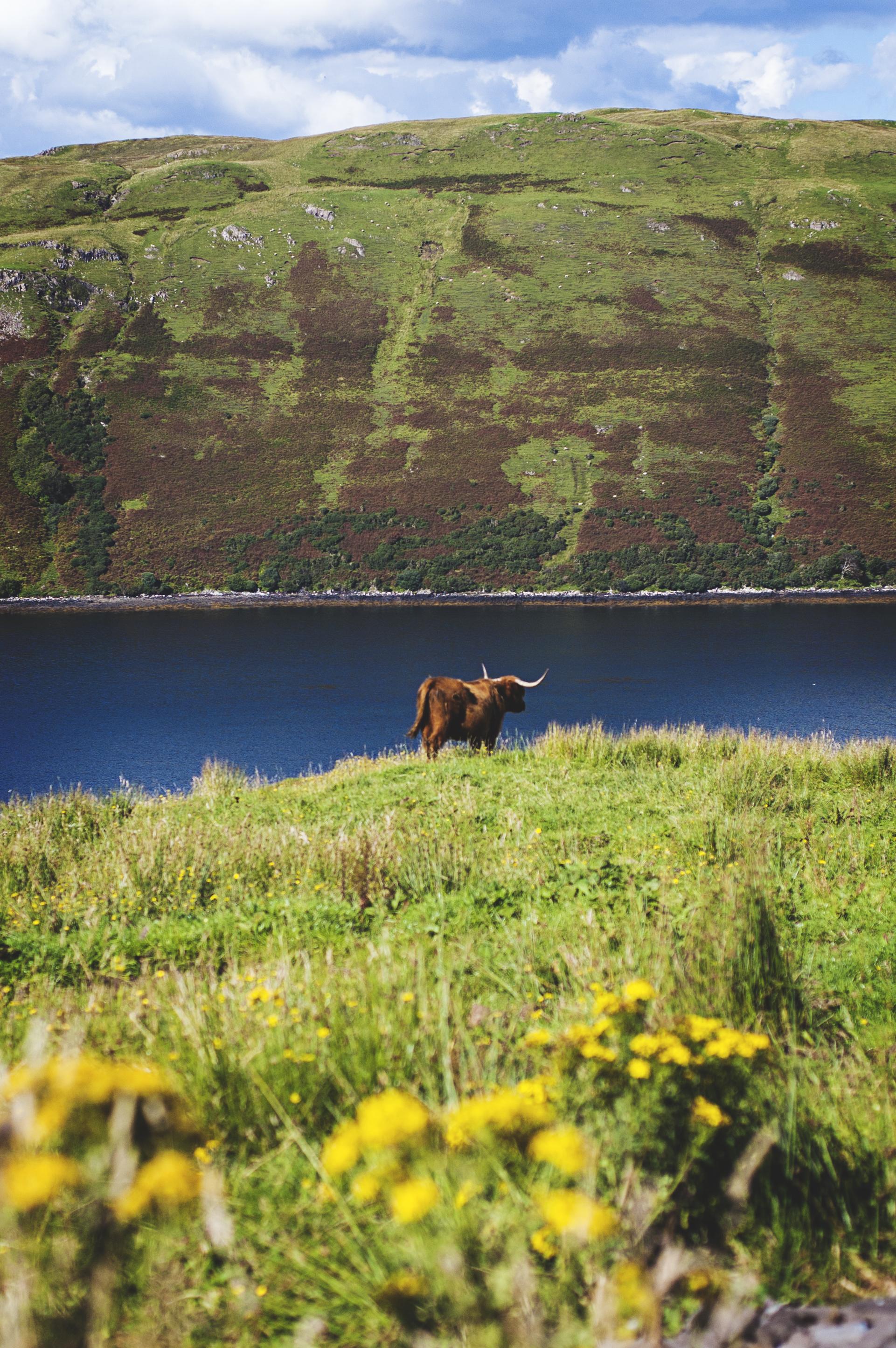 A Highland Cow surveying its Kingdom