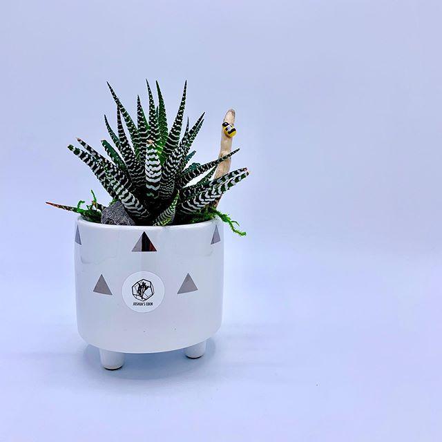 "*Available ""Tri-Planter Colletion"" - Single Zebra Haworthia in monochromatic planter. 🌿@joshuaseden . . . #joshuaseden #succulents #haworthia #pottedplant #mushroom #ladybug #driftwood #monichromatic #moss #plants #greenthumb #calgary #madeincalgary #madeinyyc #yyc #calgarybuzz #yycmade #yyclocal #shopyyc #localyyc #yycarts #yycbuisness #yycplants #yycliving #yycnow"