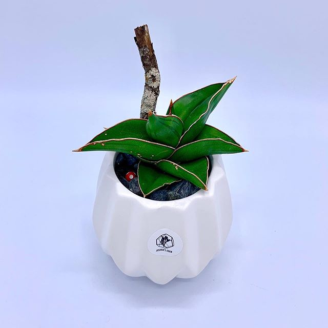"*Available ""Green Spike"" - Solo Snsevieria plant in a geometric planter.🌿@joshuaseden . . . #joshuaseden #succulents #Sansevieria #bluesansevieria #snakeplant #geometric #pottedplant #mushroom #driftwood #moss #plants #greenthumb #calgary #madeincalgary #madeinyyc #yyc #calgarybuzz #yycmade #yyclocal #shopyyc #localyyc #yycarts #yycbuisness #yycplants #yycliving #yycnow"