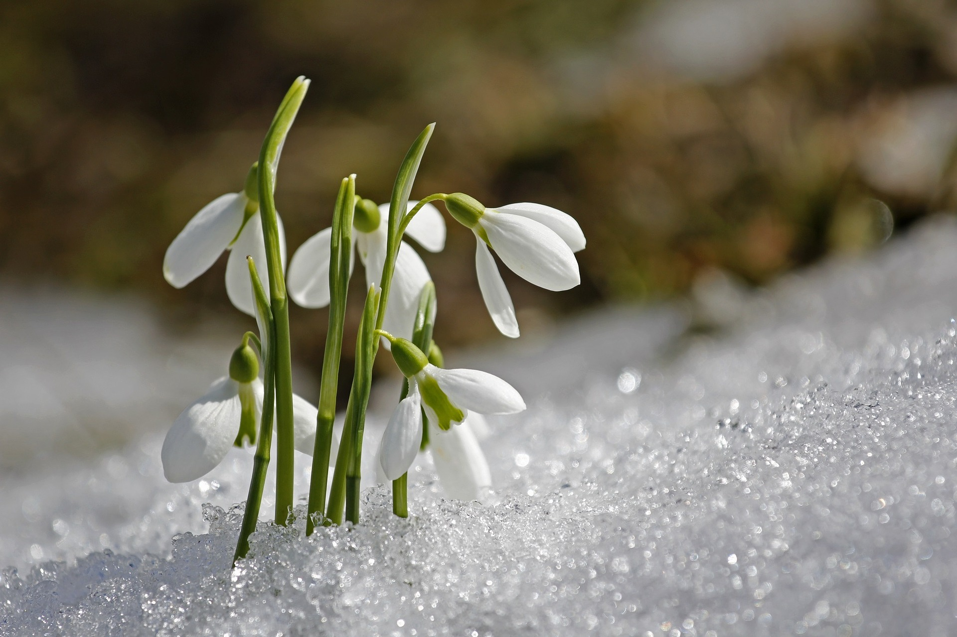 Snowdrops are one of the first flowers of the year to bloom
