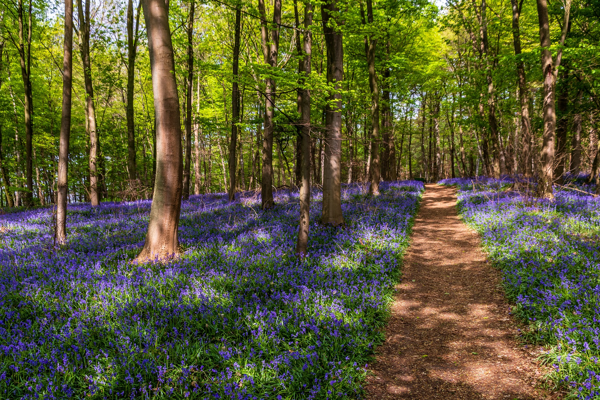 Bluebells are usually an indicator of ancient woodland and predominantly bloom in May
