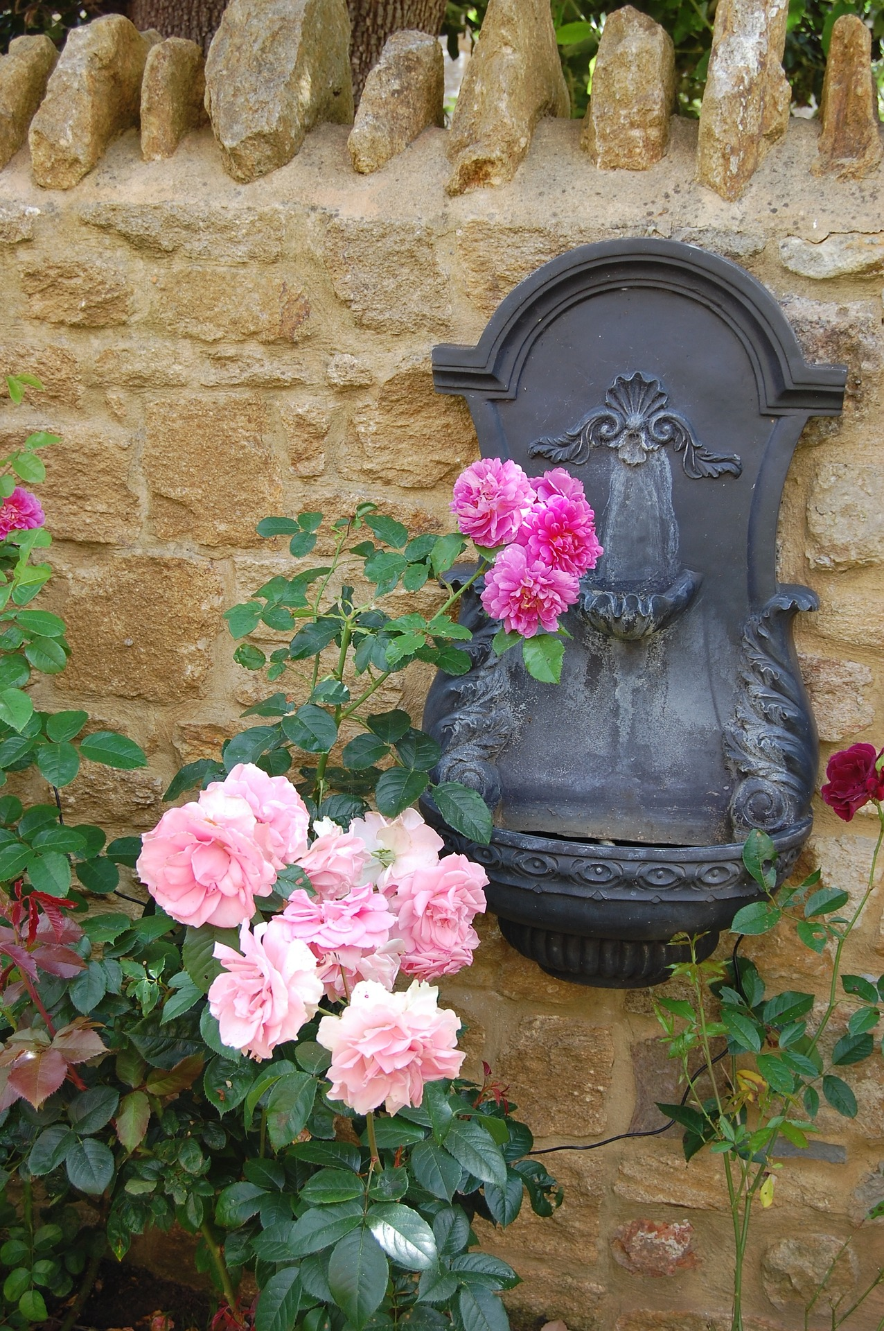 Gorgeous pink roses in bloom from June