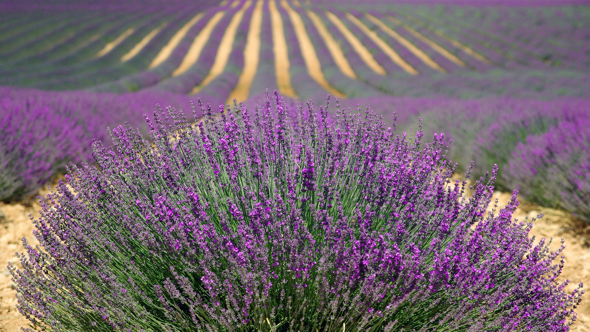 We literally have miles and miles of lavender fields here in the UK, open to the public for basically getting intoxicated on the stuff. See the link for places to go, you can pick your own and take gorgeous photos too.