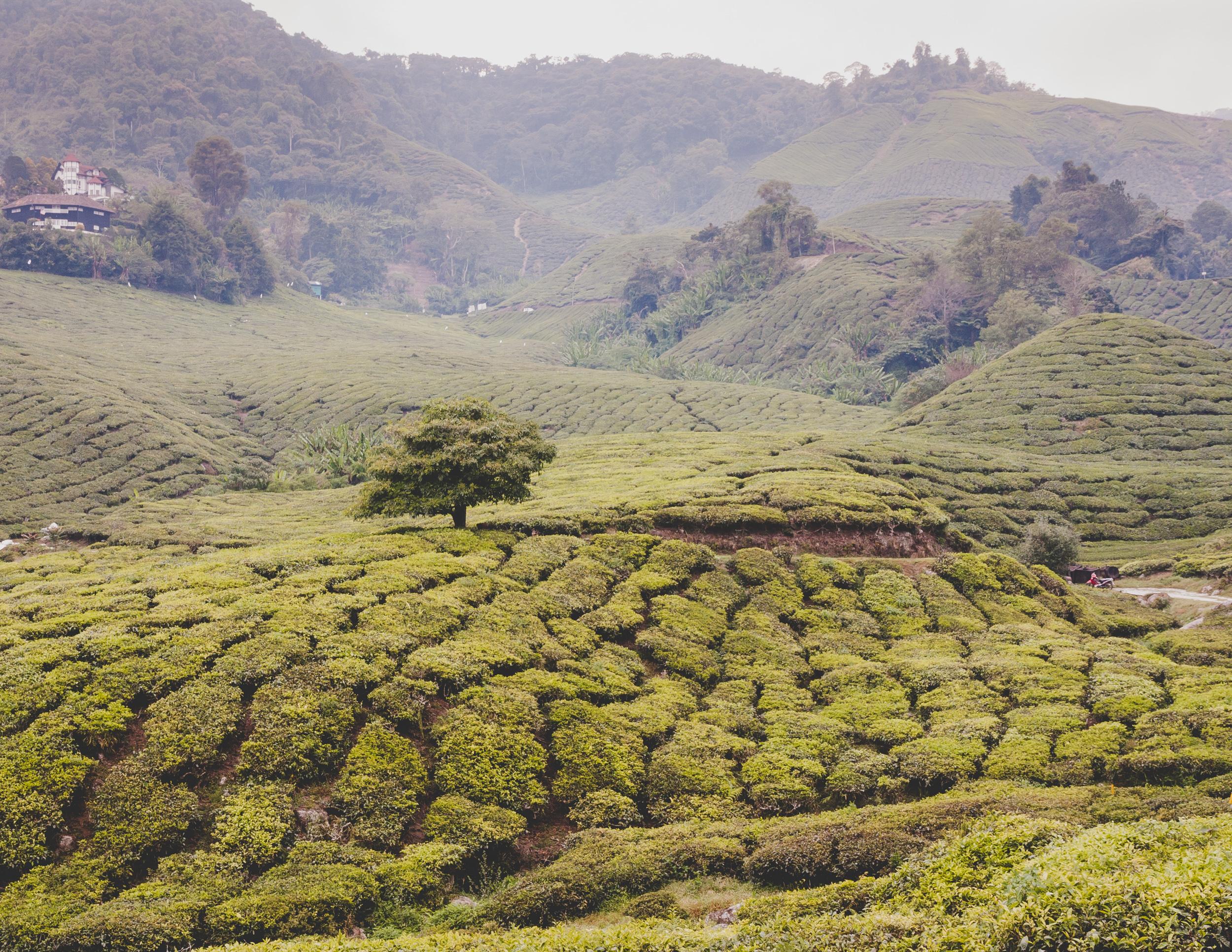 Boh Tea Plantation, Cameron Highlands, Malaysia