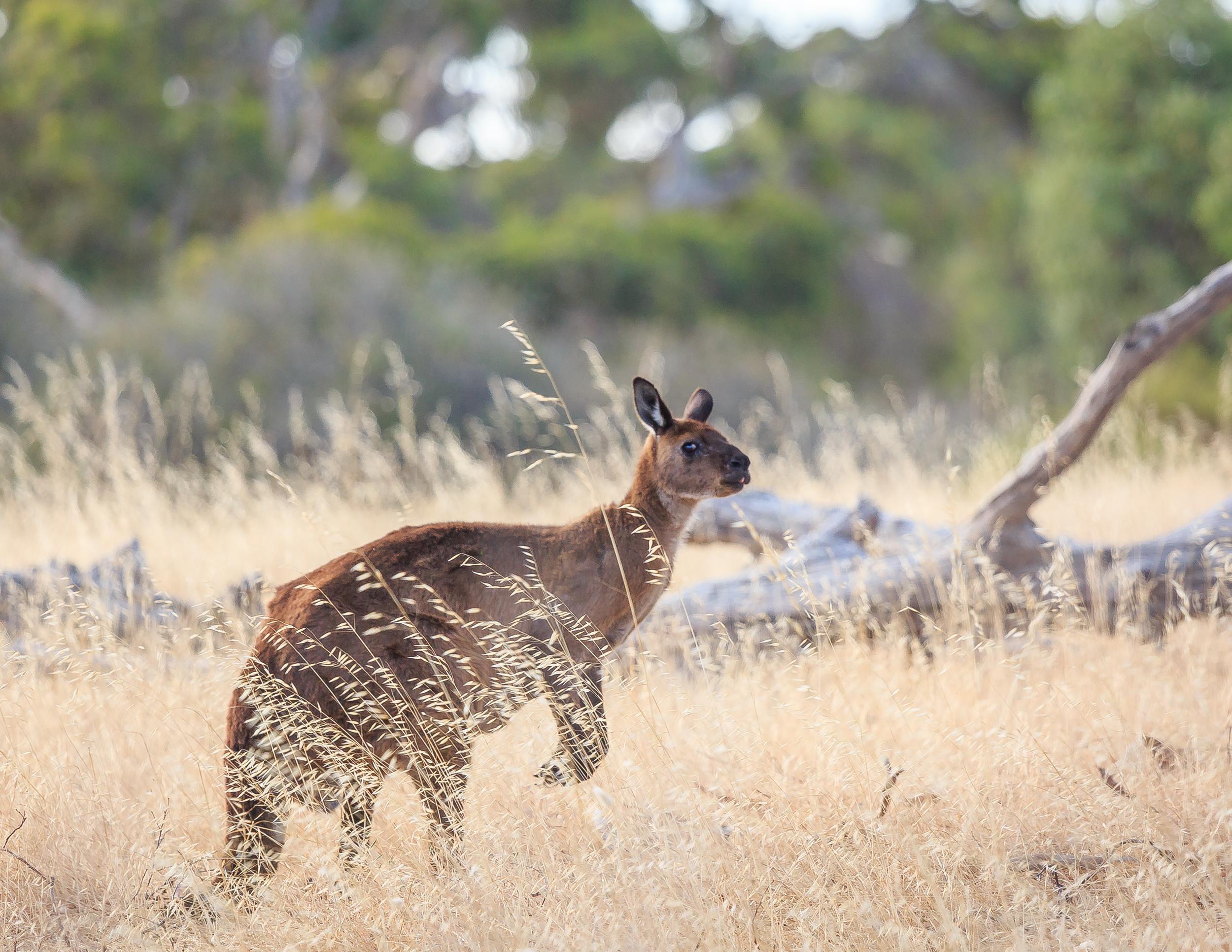 Things to do in Kangaroo Island: Spot Kangaroos