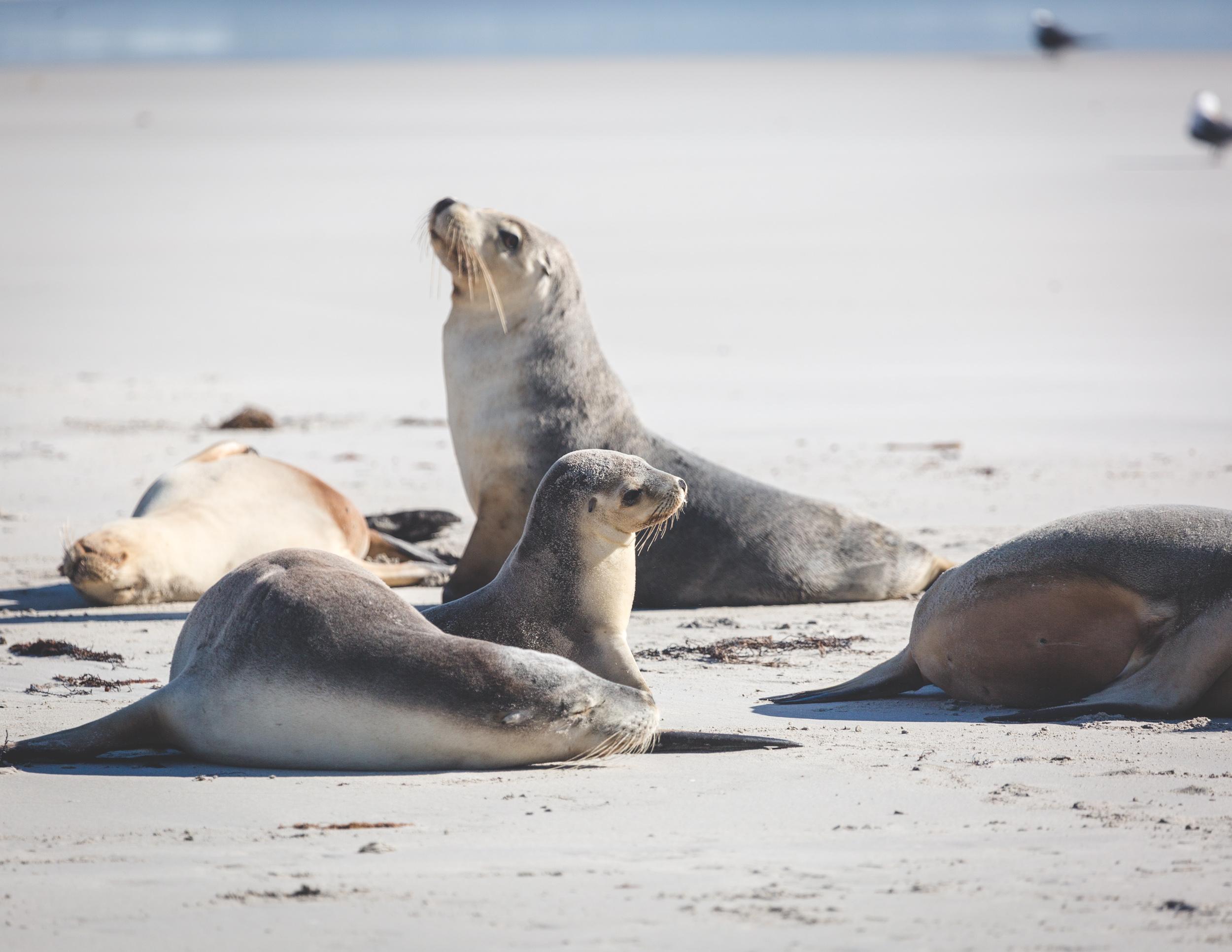 Things to do Kangaroo Island: Seal Bay