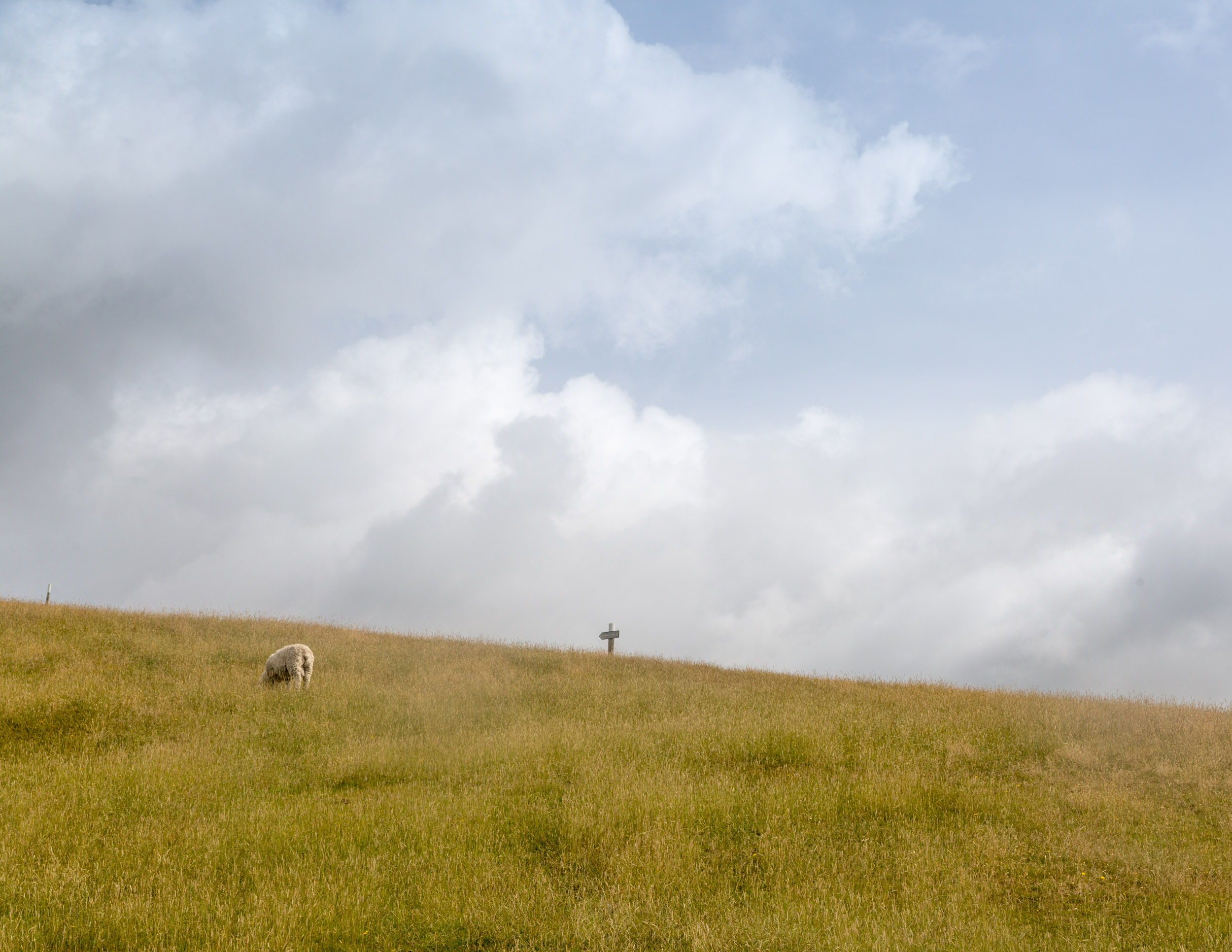 Cliff top sheep