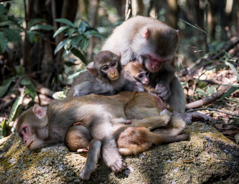 Top walks in Hong Kong: Monkeys on the Lion Rock Peak