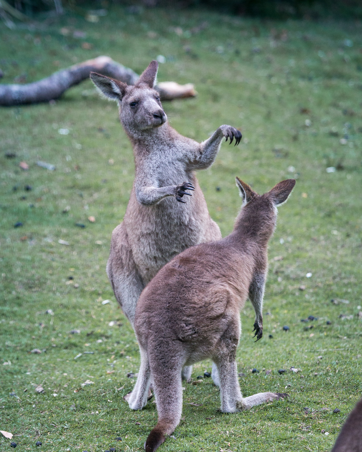 Murramarrang Beach, best places to see kangaroos close to Sydney