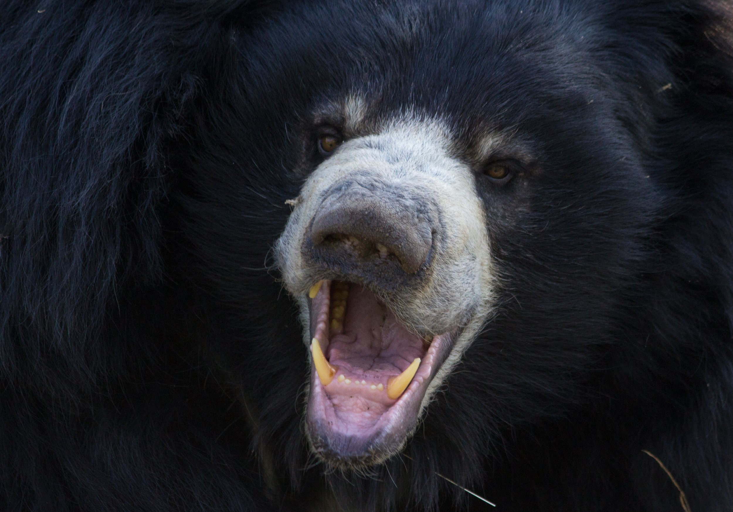 That time we were attacked by bears: Sloth Bear
