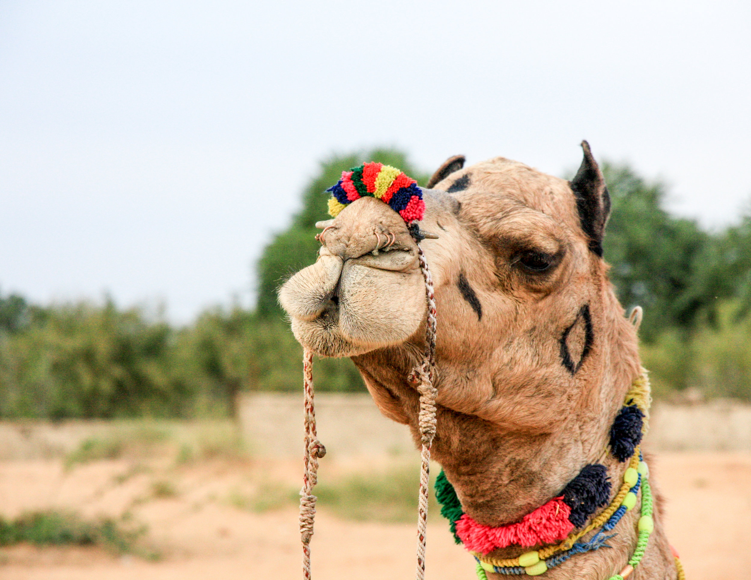 Tourist places in Rajasthan: Camel tour into the desert, Pushkar