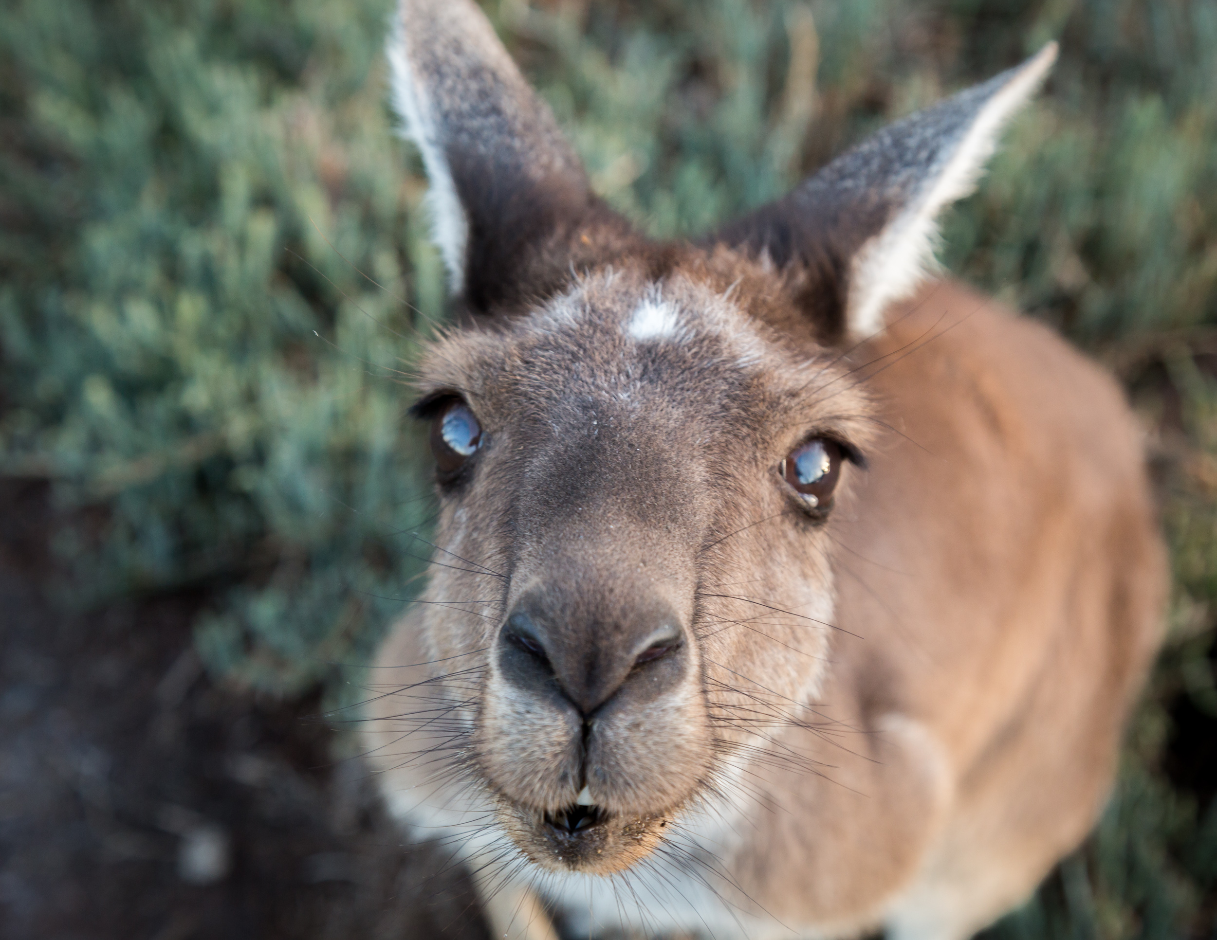 Western Red Kangaroo, Heirisson Island, Perth