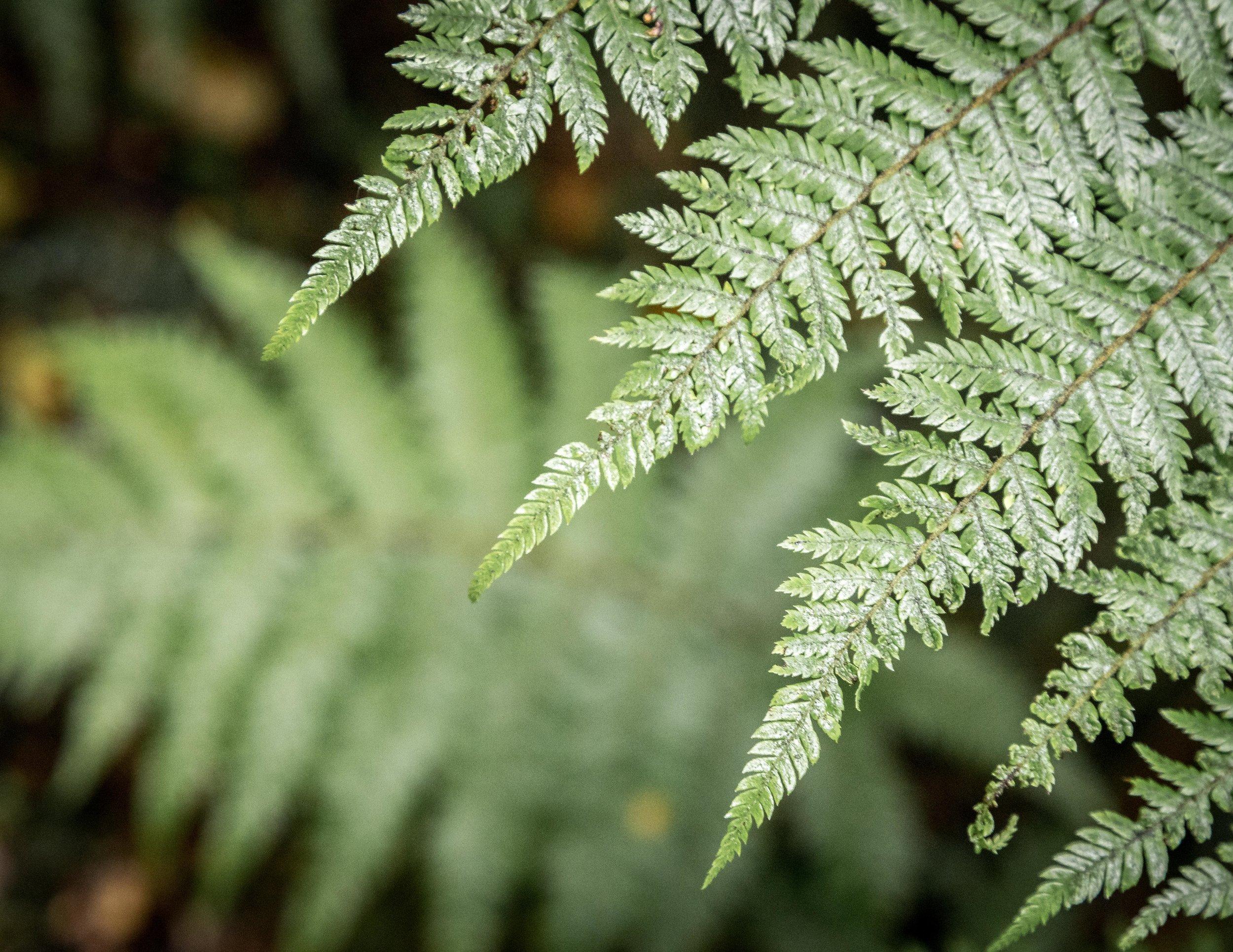 The Milford Track: Tree Ferns near Sandfly Point