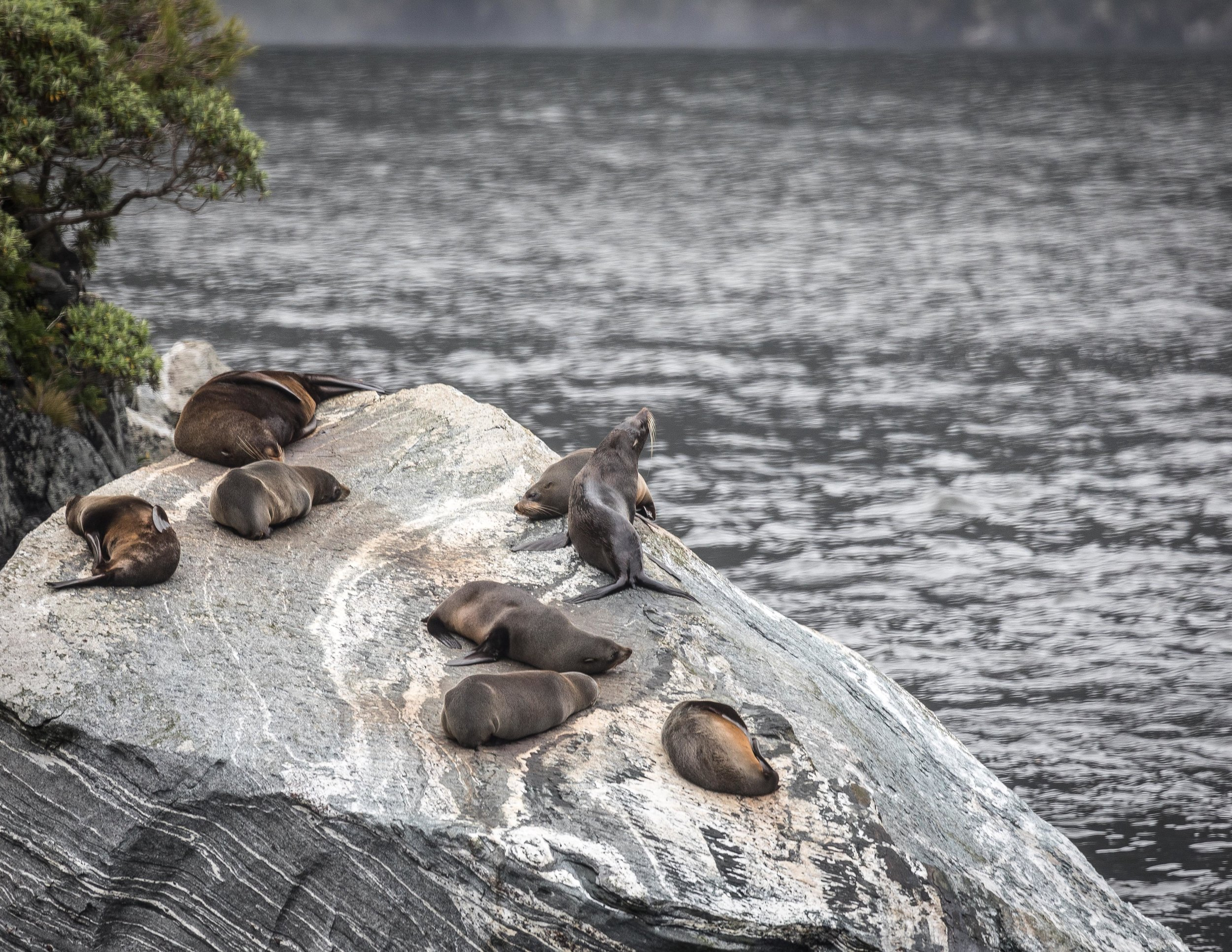 Seal colony on Milford Sound